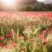 Poppy fields in Provence