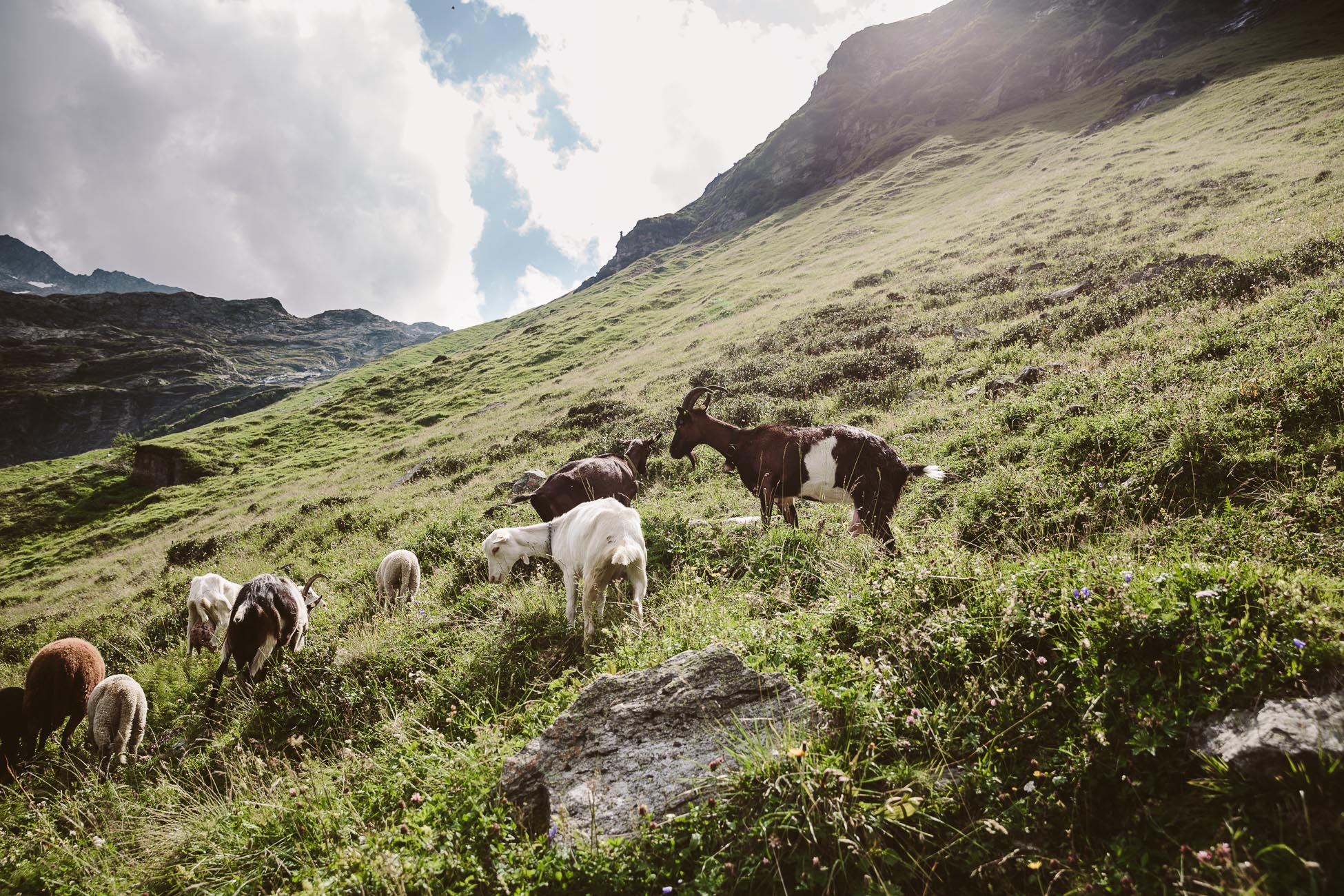 Goats in National Park Hohe Tauern
