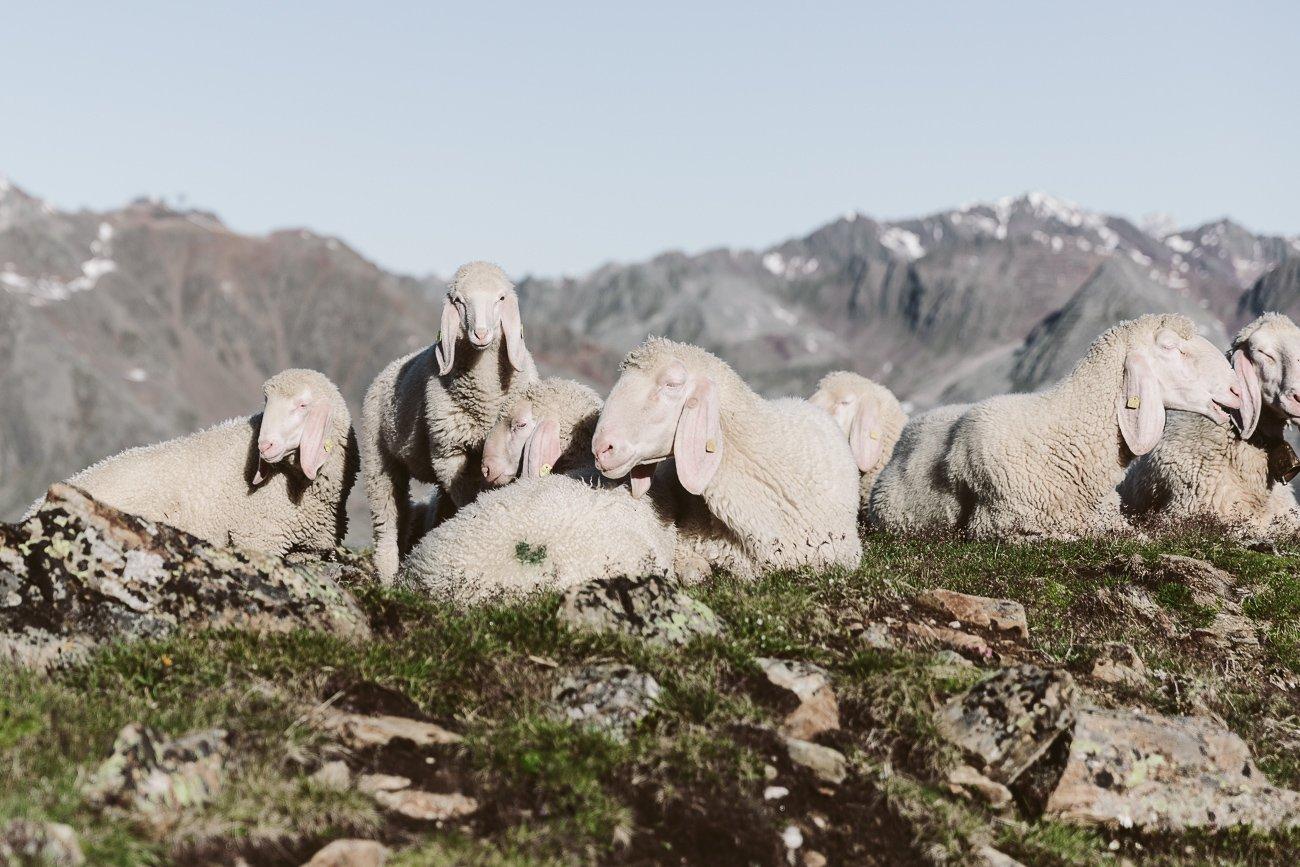 Sheep close to Brunnenkogelhaus Oetzal Alps Tyrol