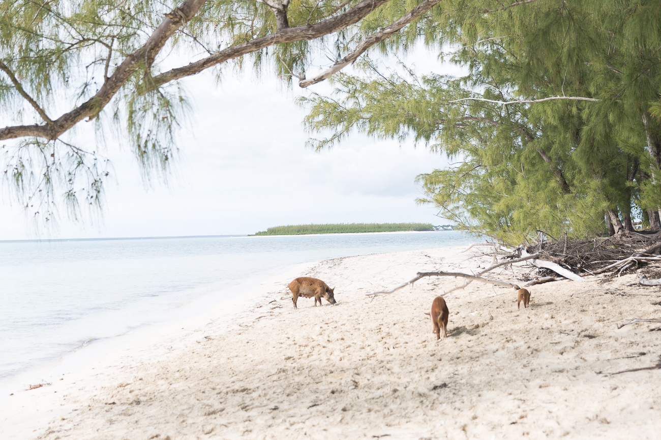 The Swimming Pigs of No Name Cay close to Abaco Island