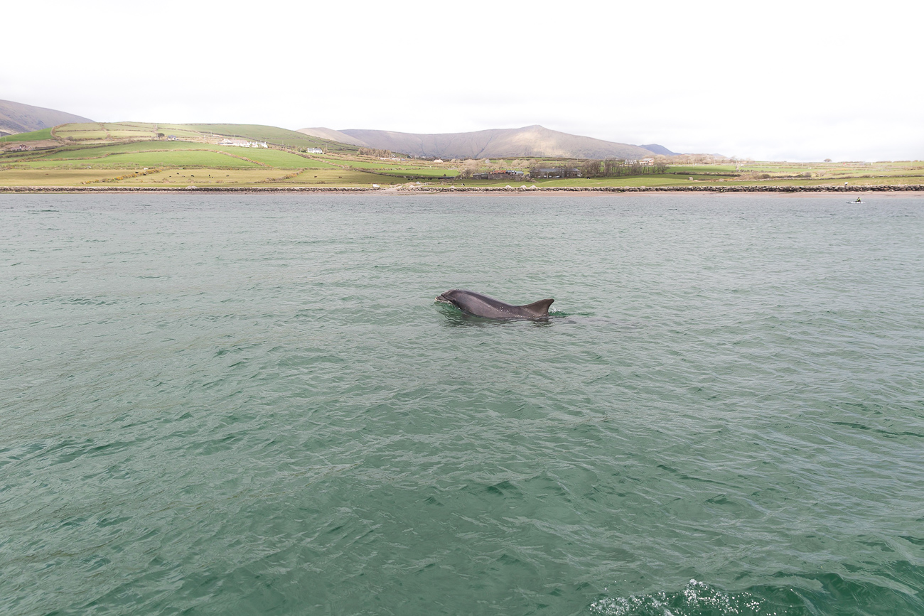 Fungie the dolphin in Dingle