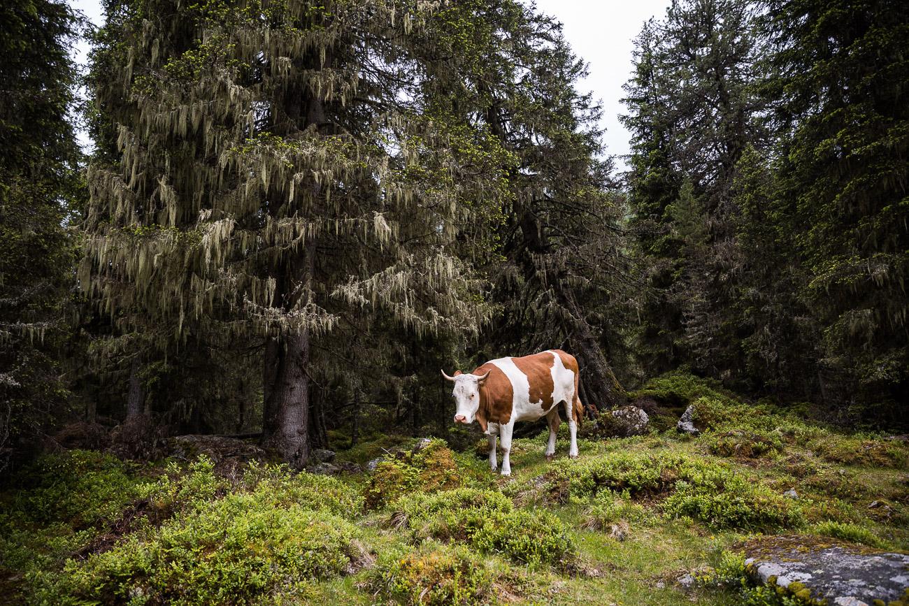 East Tyrol mountain cow