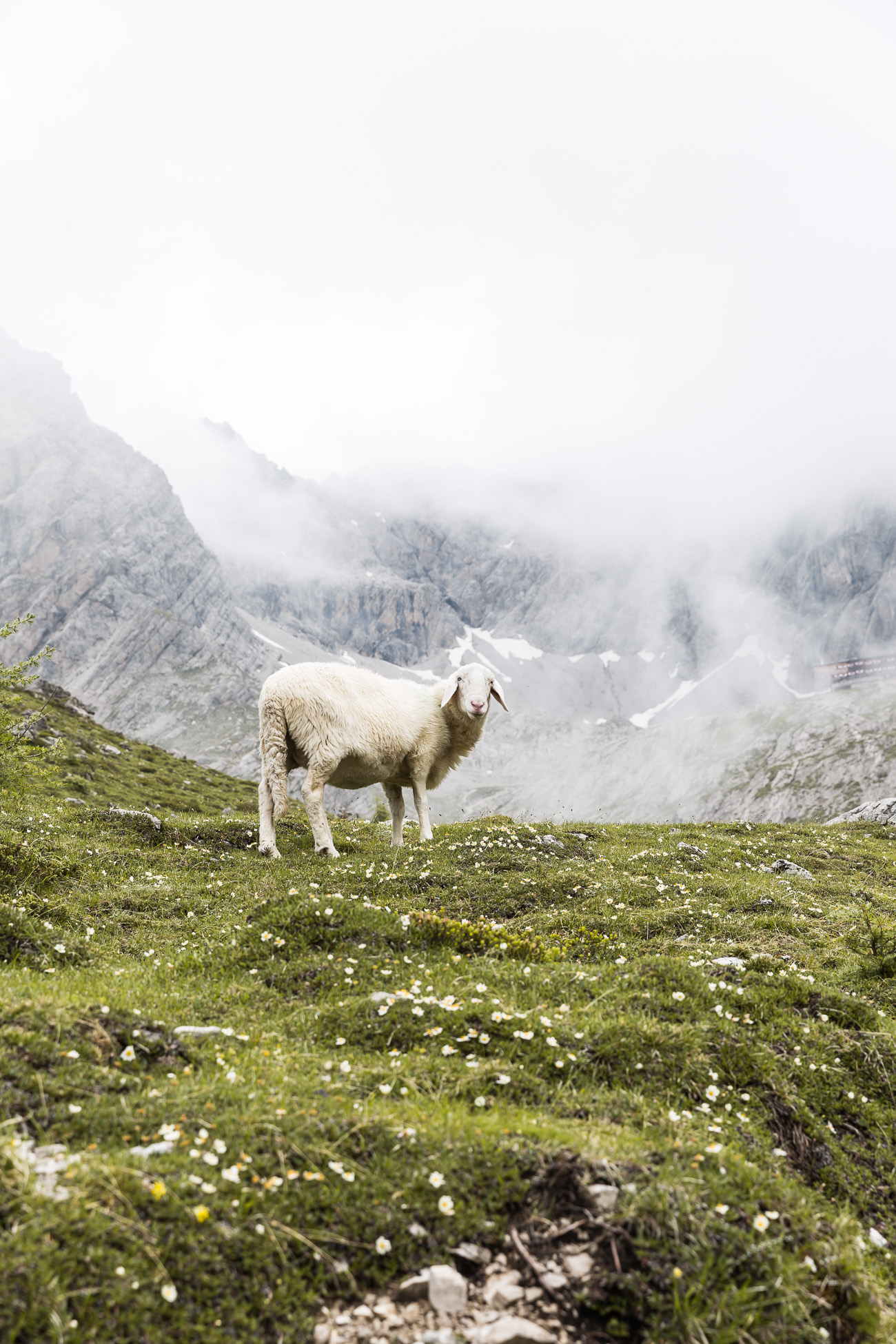 Sheep in East Tyrol