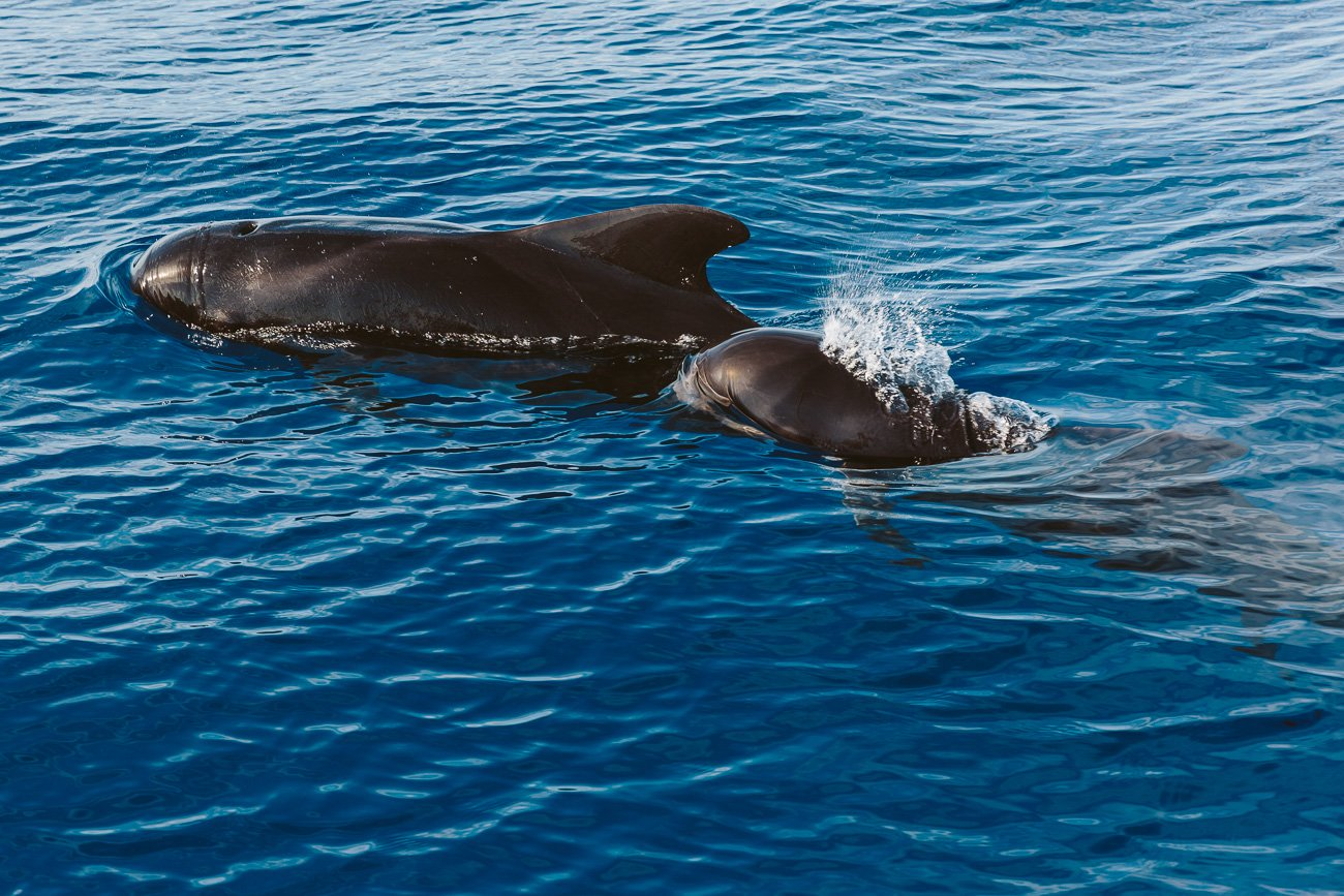 A pilot whale mother and baby