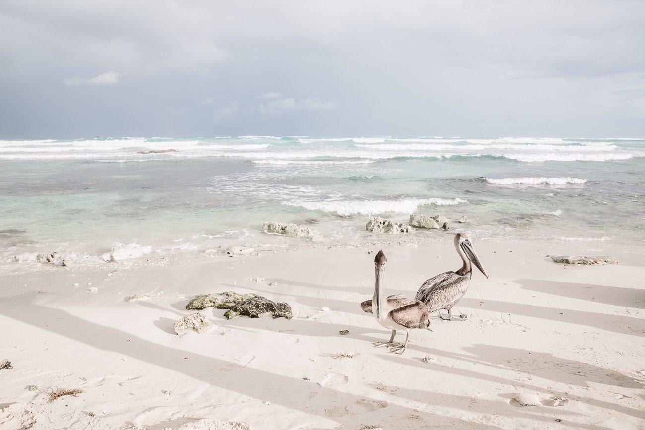 Pelicans at Sunrise Beach Tulum