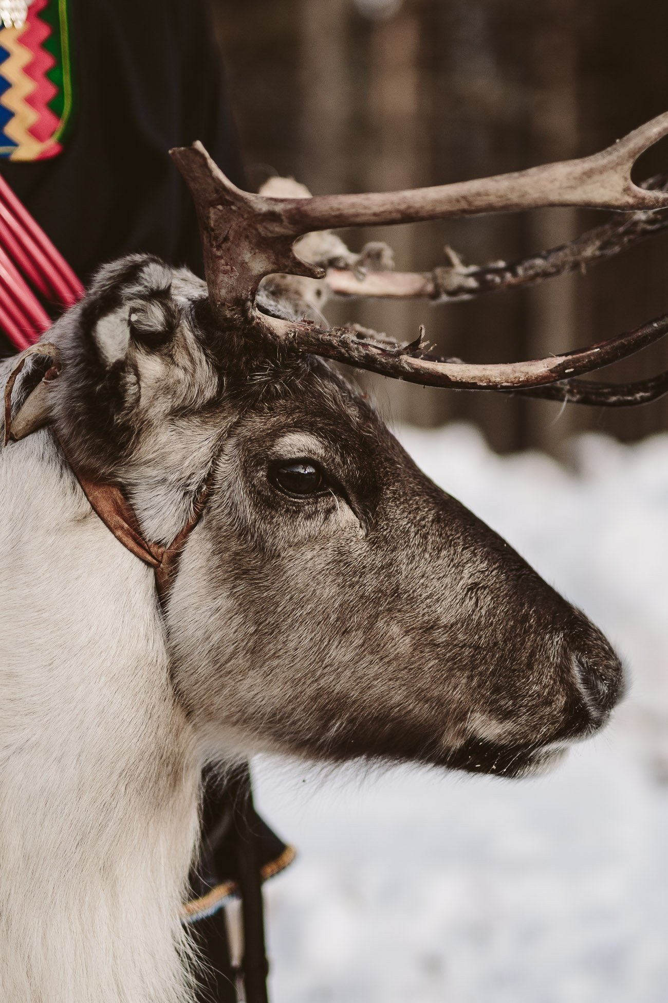 Lillebrö the reindeer in Swedish Lapland