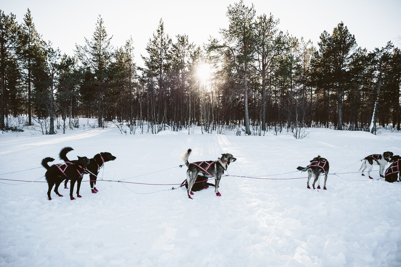 Dog Sledge Ride in Swedish Lapland