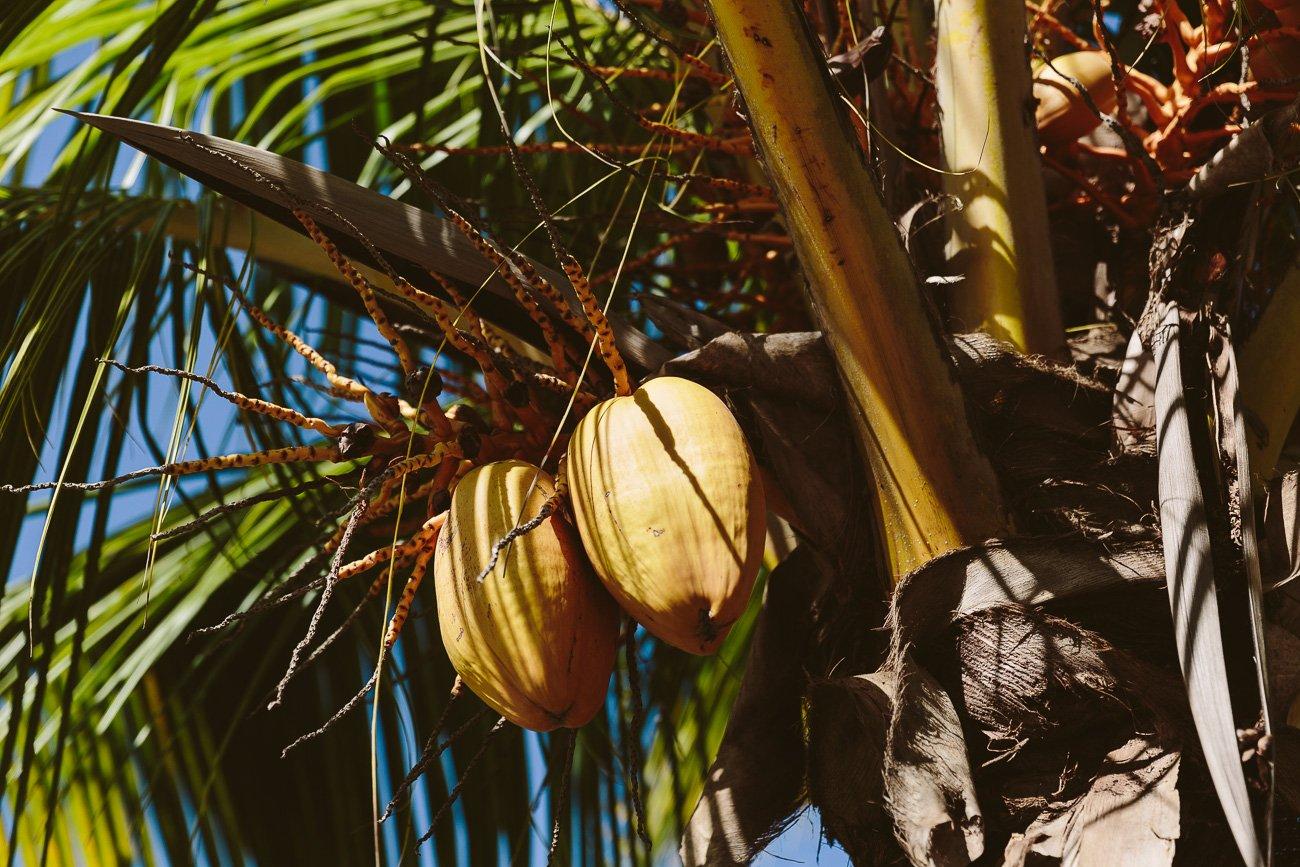 Coconut palms in Varadero Cuba