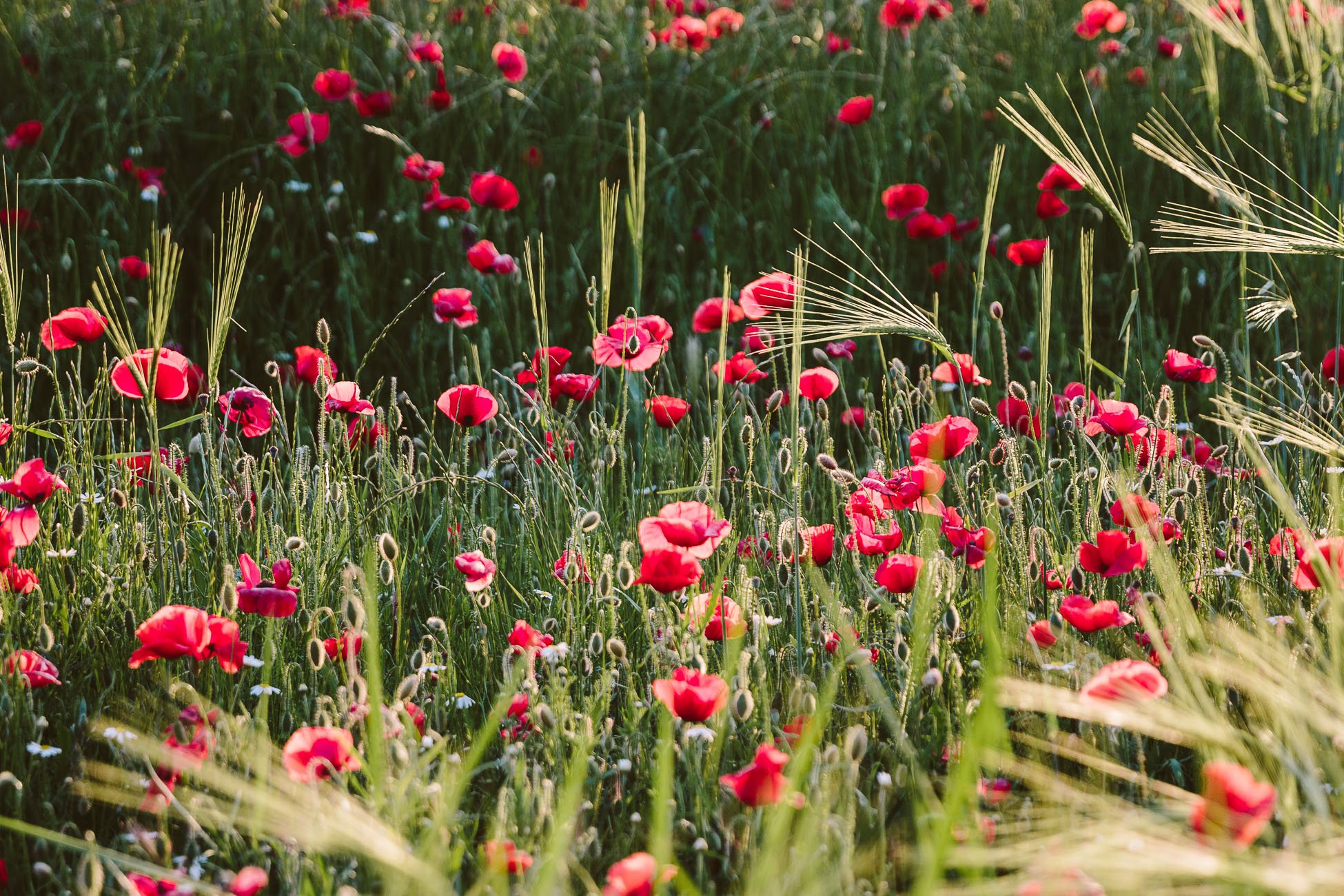 Poppies in bloom in the Provence in May
