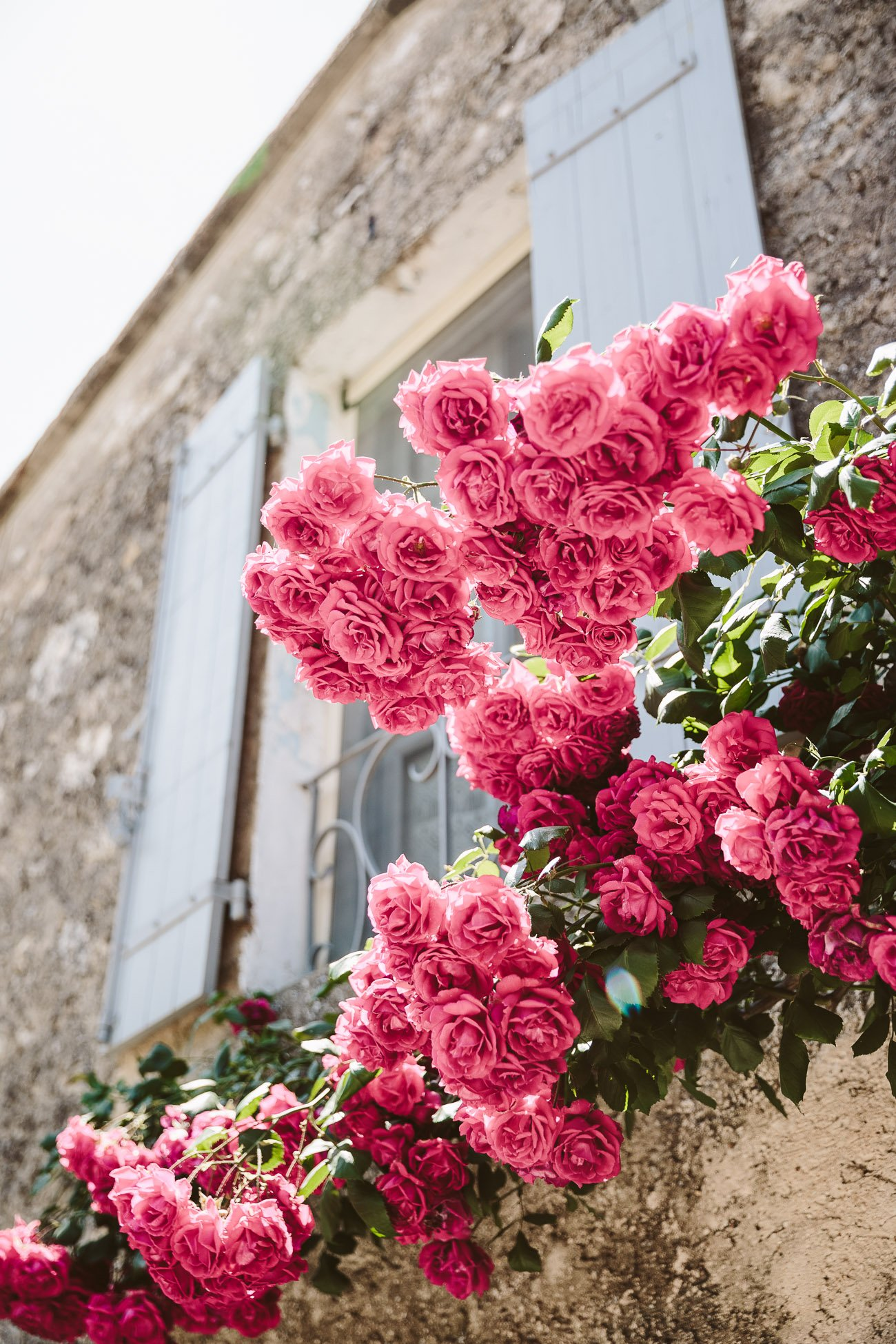 Roses in the Provence