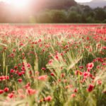 Poppy fields in Provence