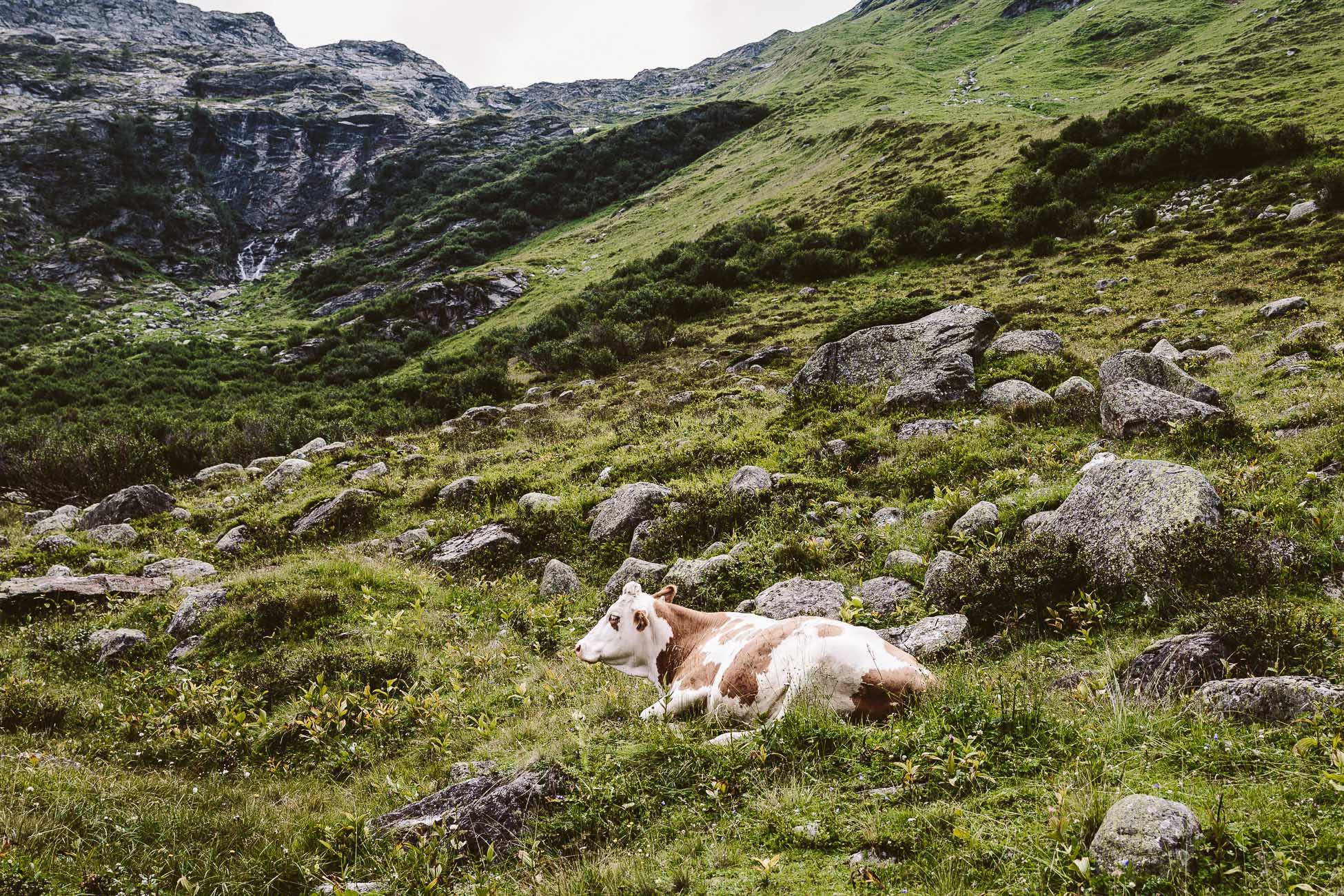 A cow at National Park Hohe Tauern