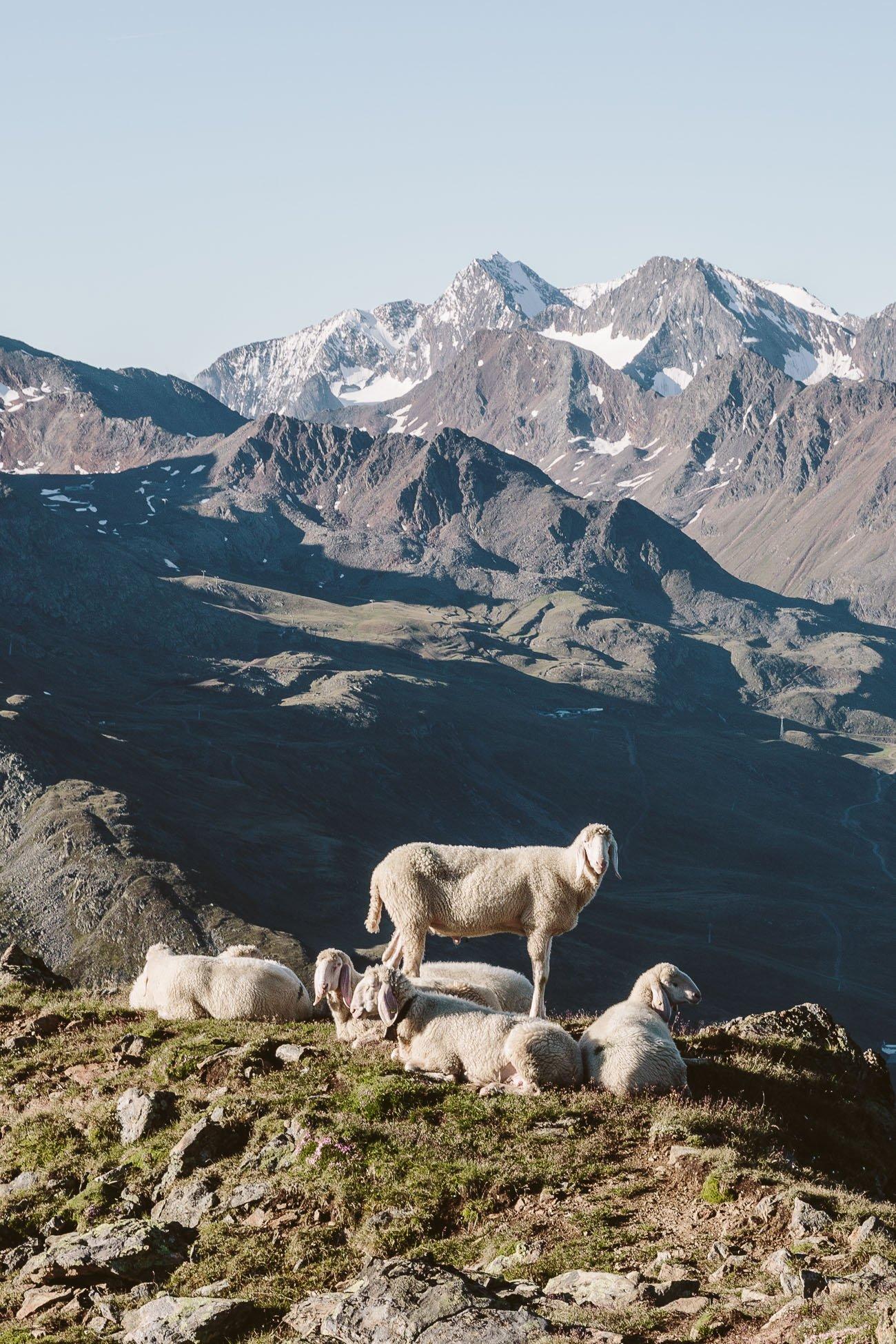 Sheep close to Brunnenkogelhaus Oetztal Tyrol