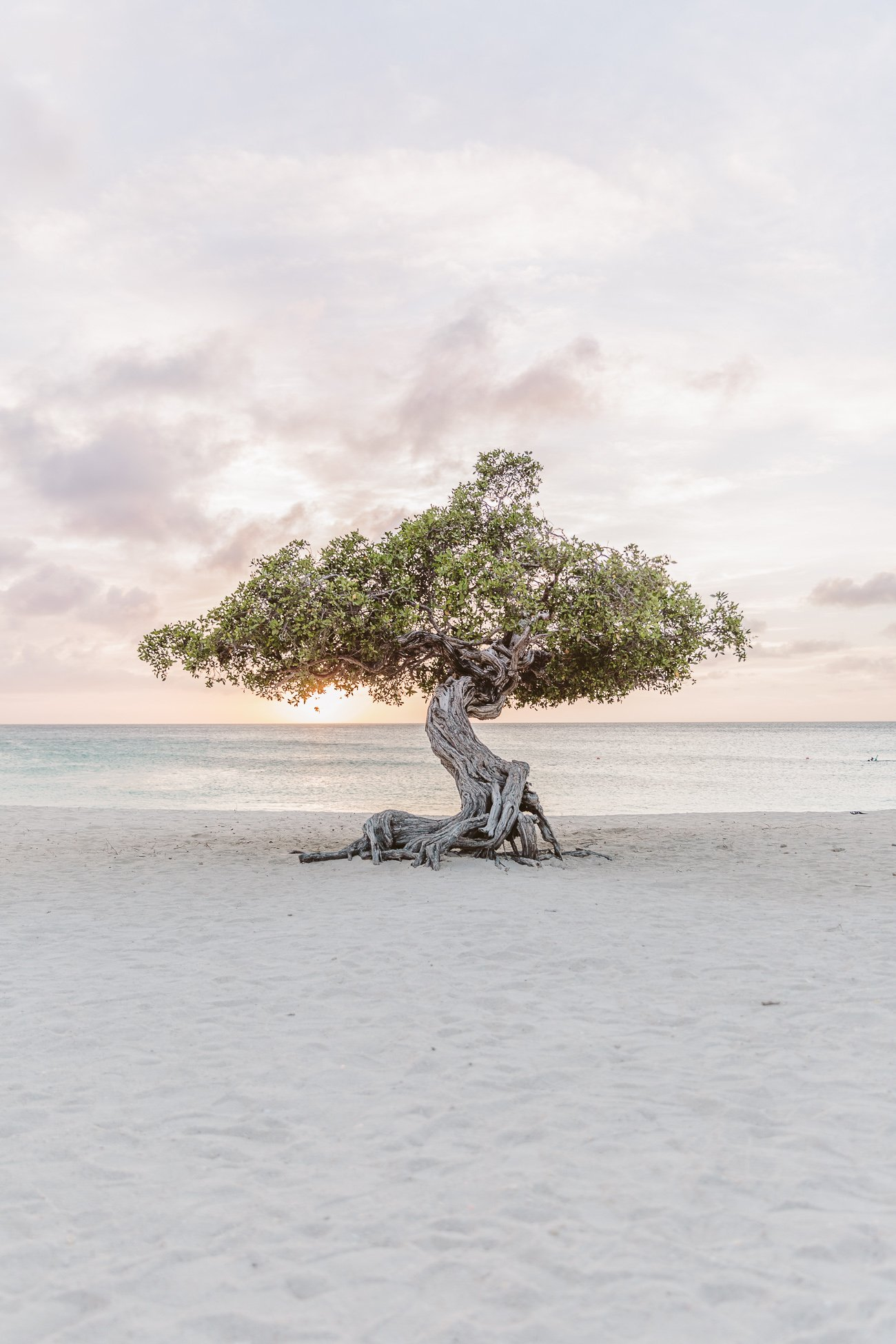 Divi Divi Tree at Sunset at Eagle Beach
