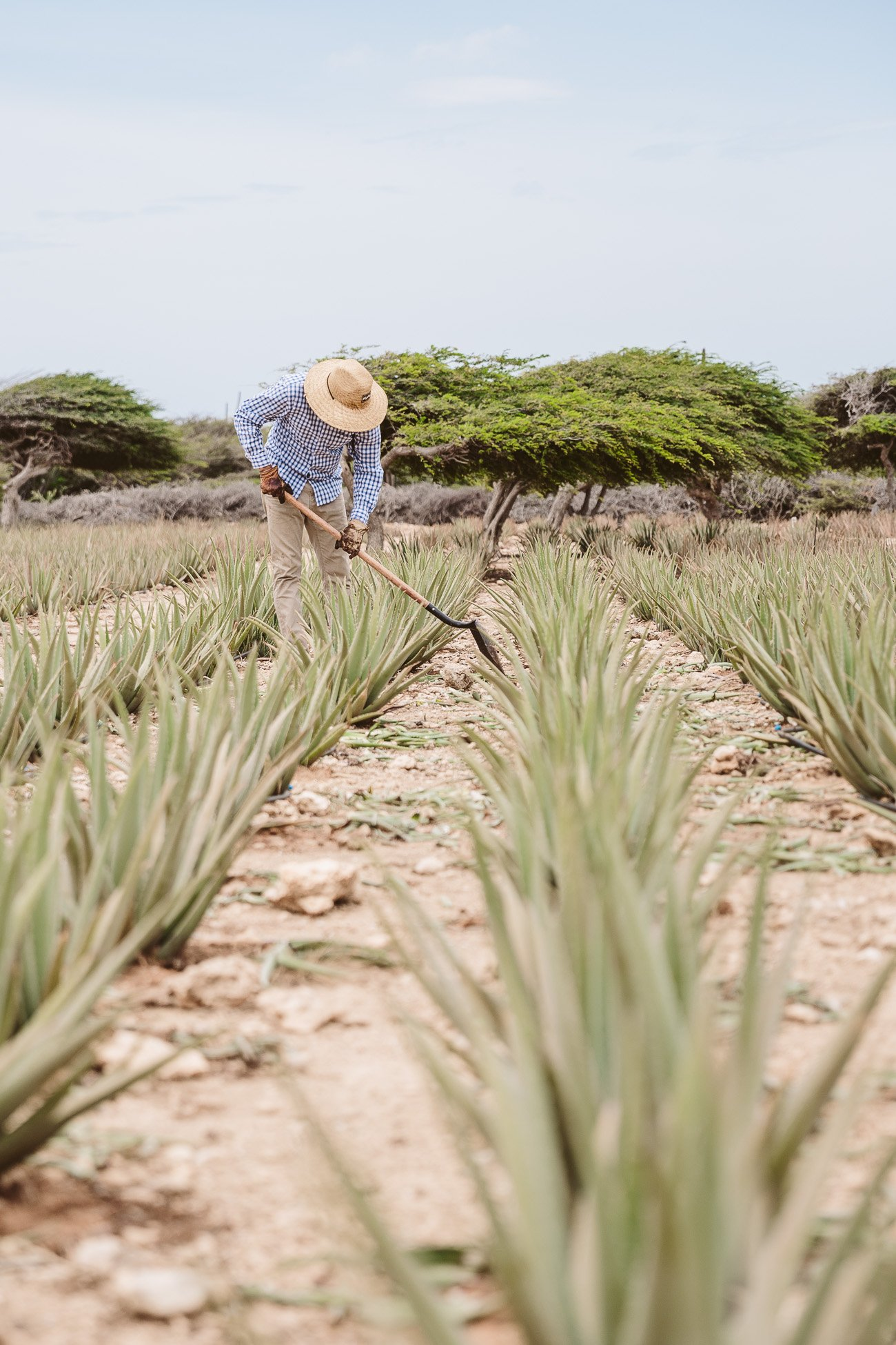 Aruba Aloe Farm