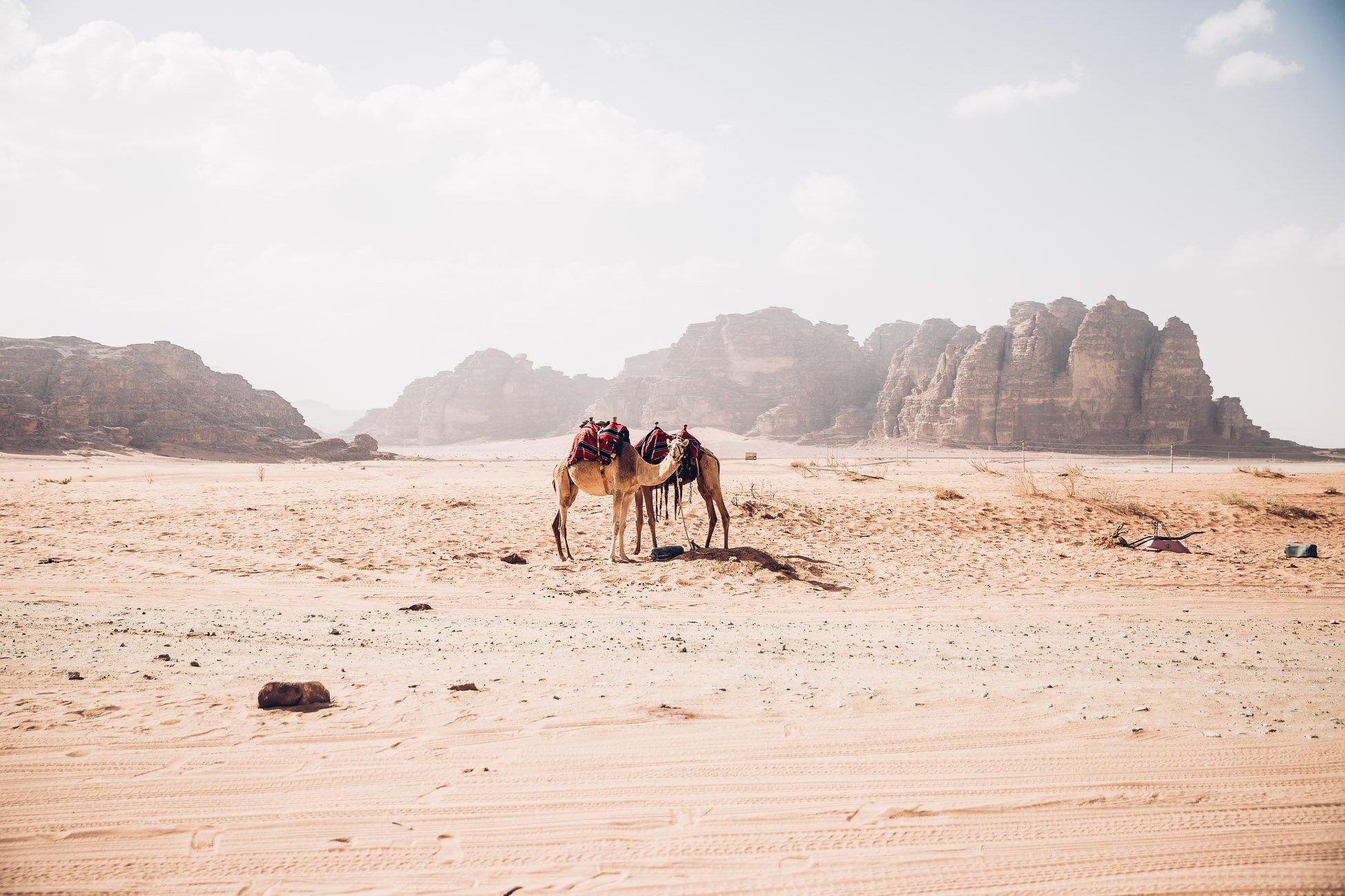 Camels in Wadi Rum Jordan