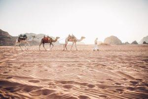 Camels in Wadi Rum