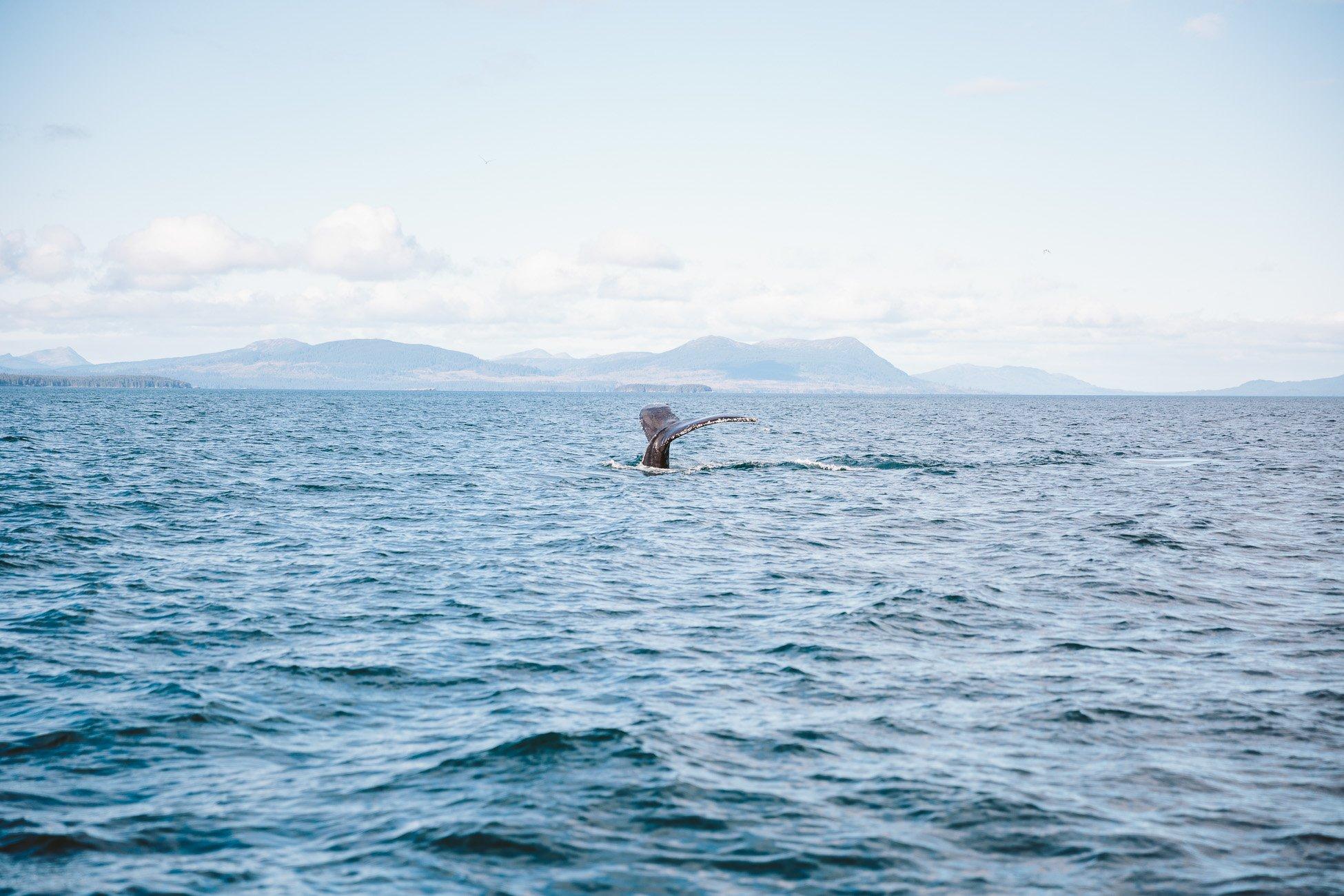 Humpback whale near Kodiak Island Alaska