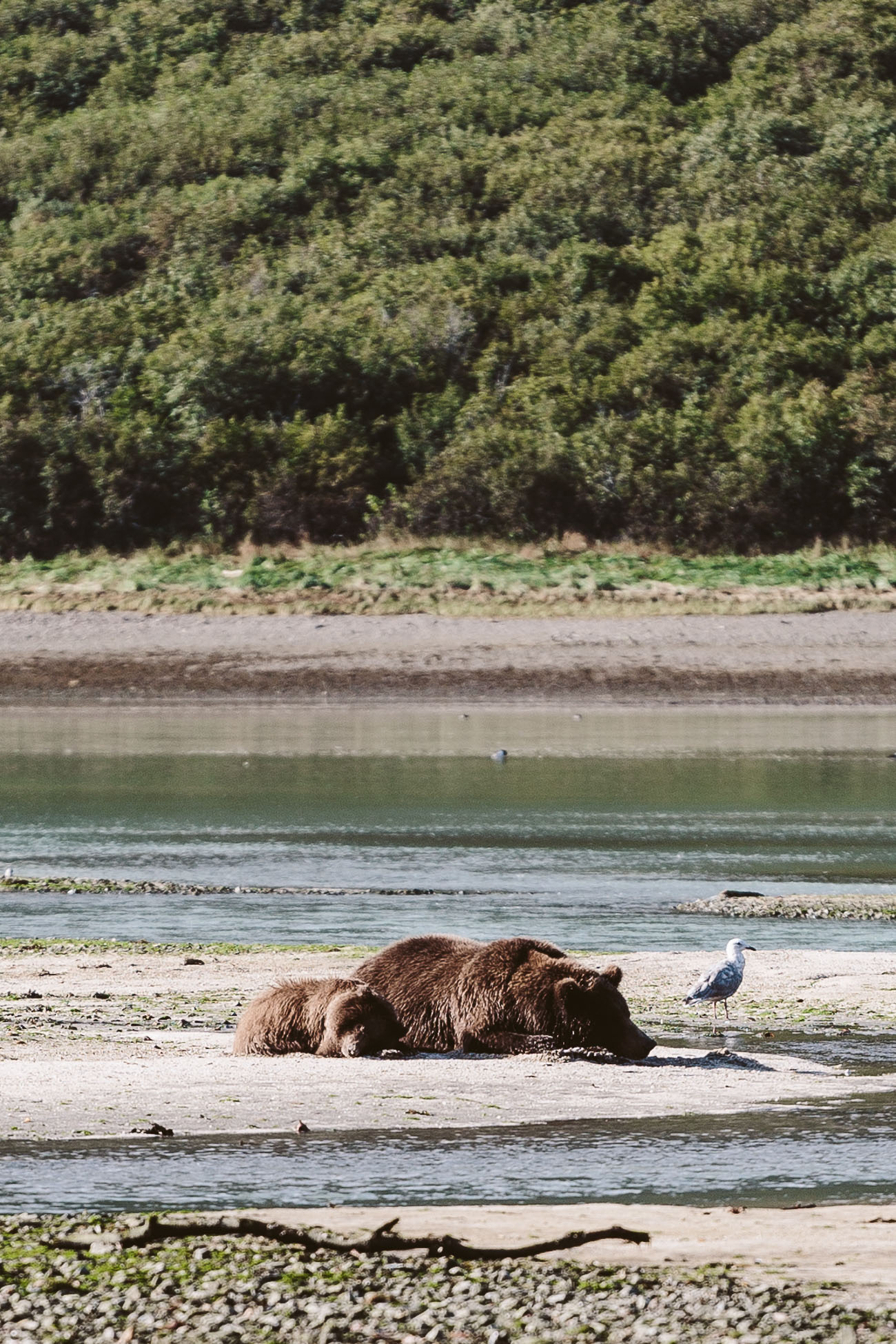 Alaskan Brown Bear at Katmai National Park Alaska