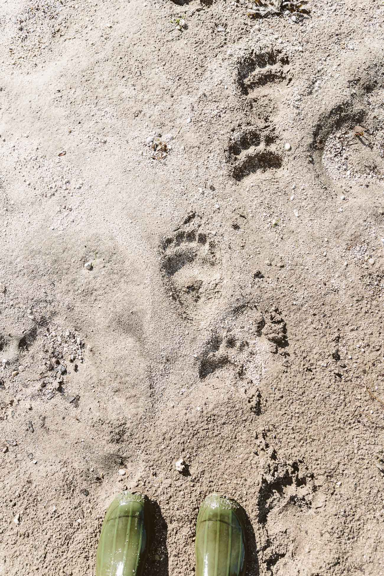 Alaskan Brown Bear traces at Katmai National Park Alaska