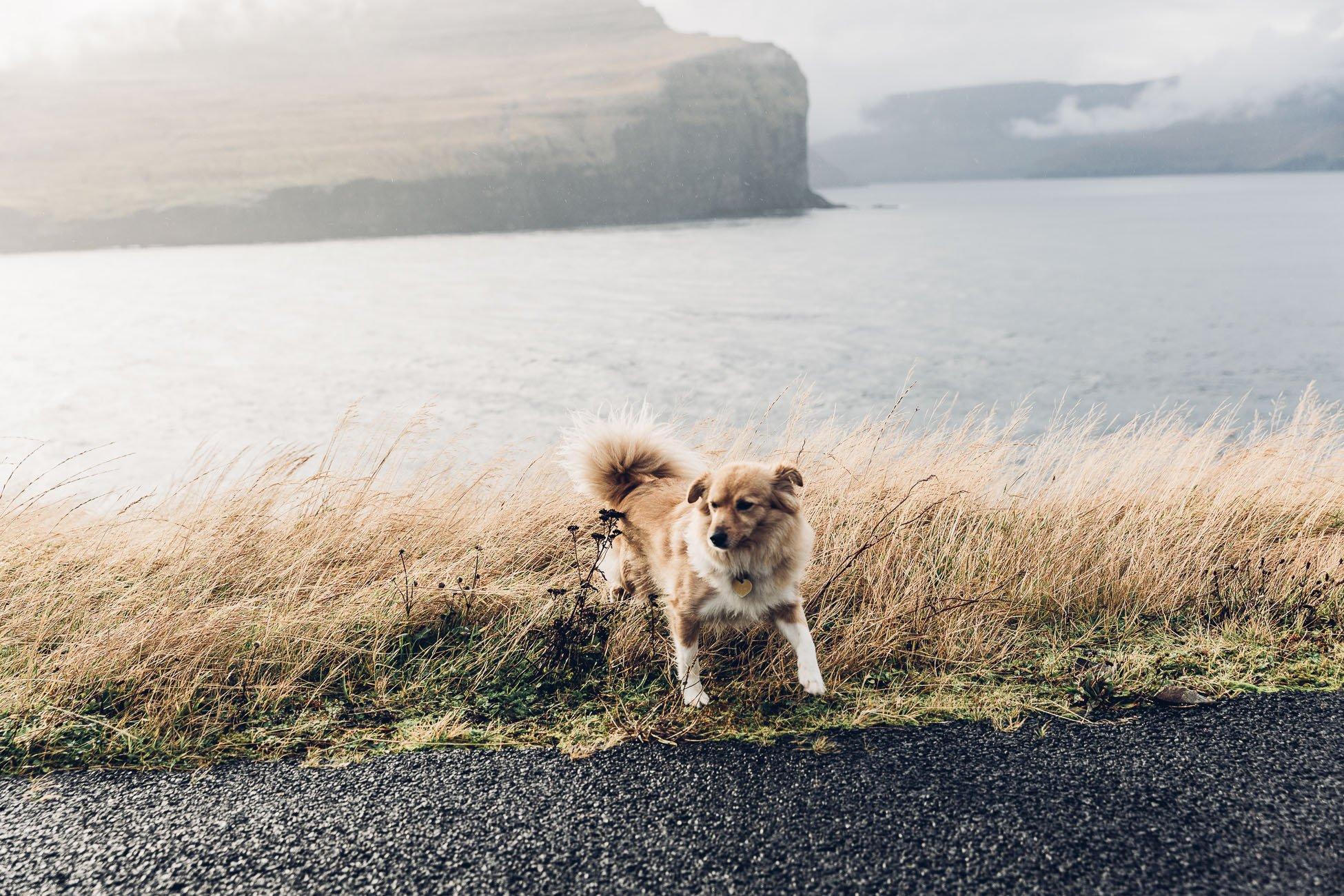 Local Dog in Fugloy