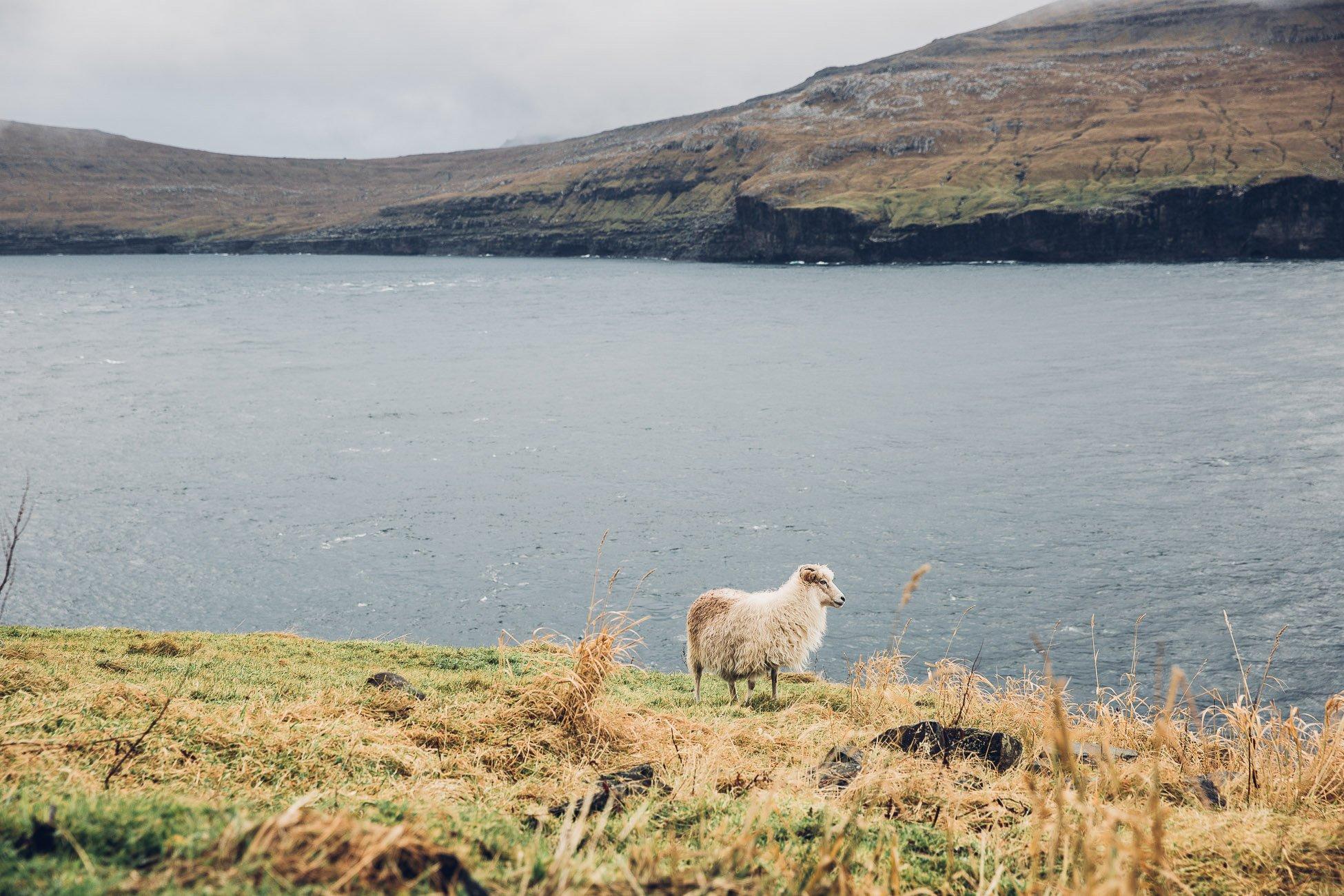 Sheep on Fugloy Faroe Islands