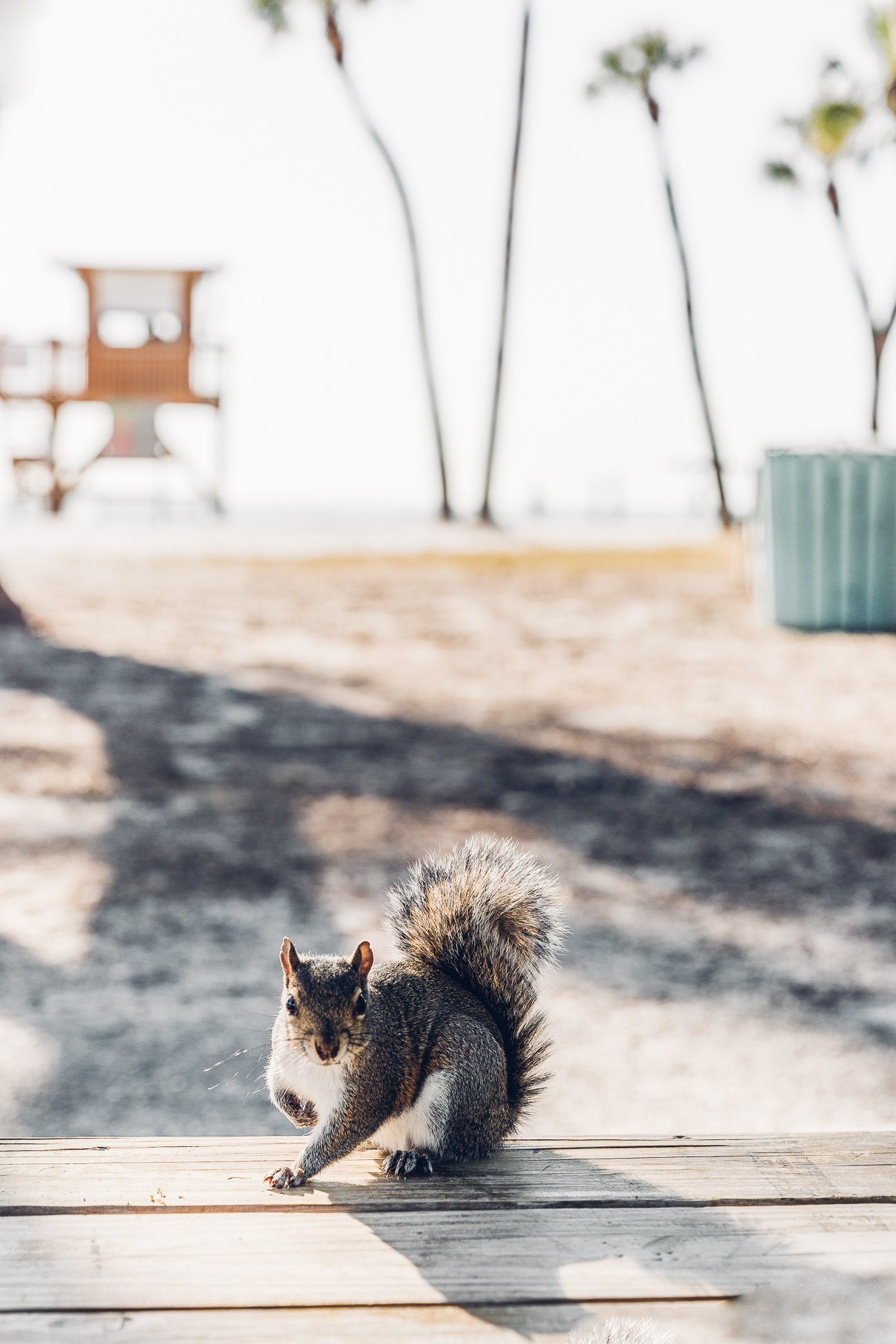 Squirrel at Coquina Beach Florida