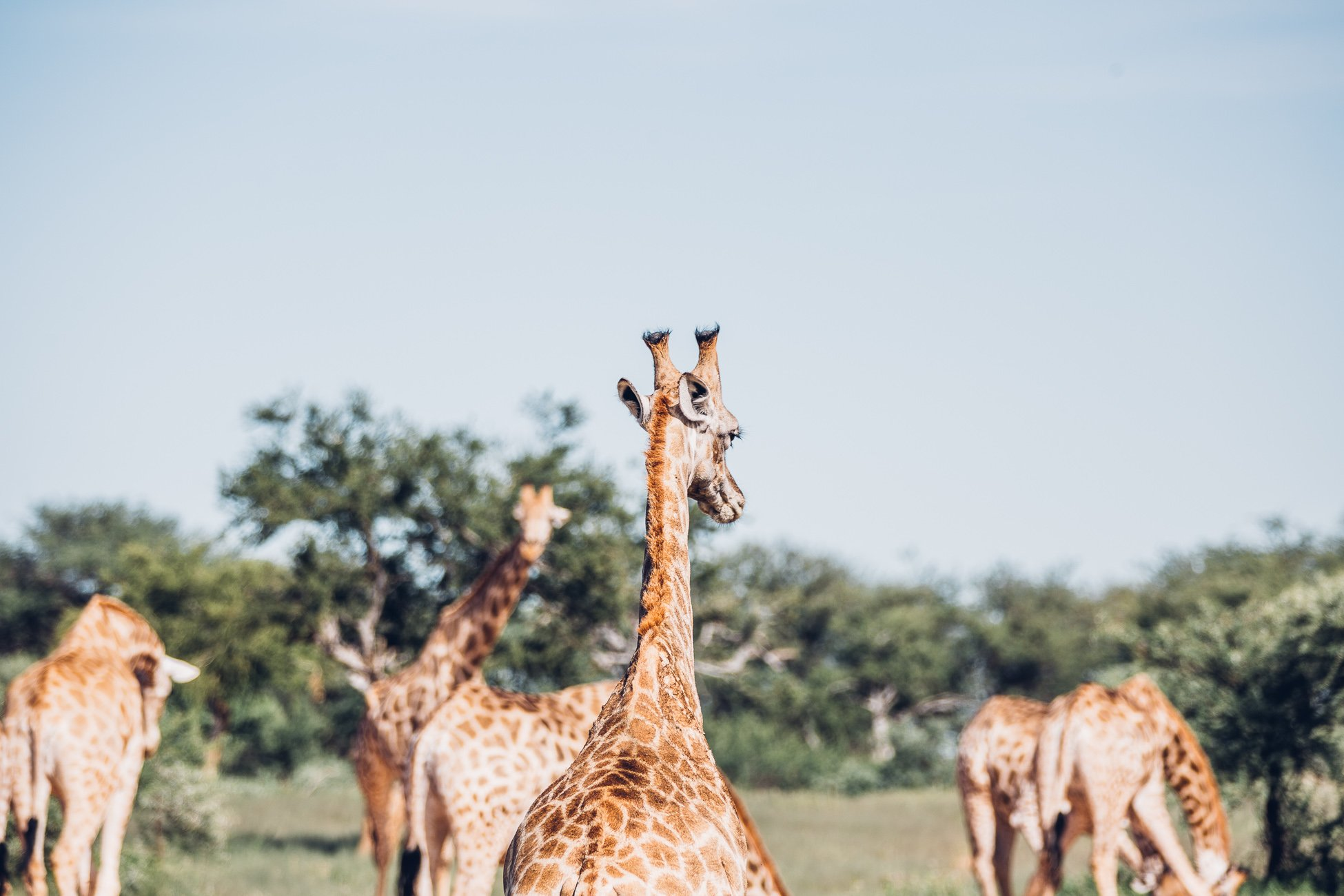 Giraffes at Erindi Private Game Reserve