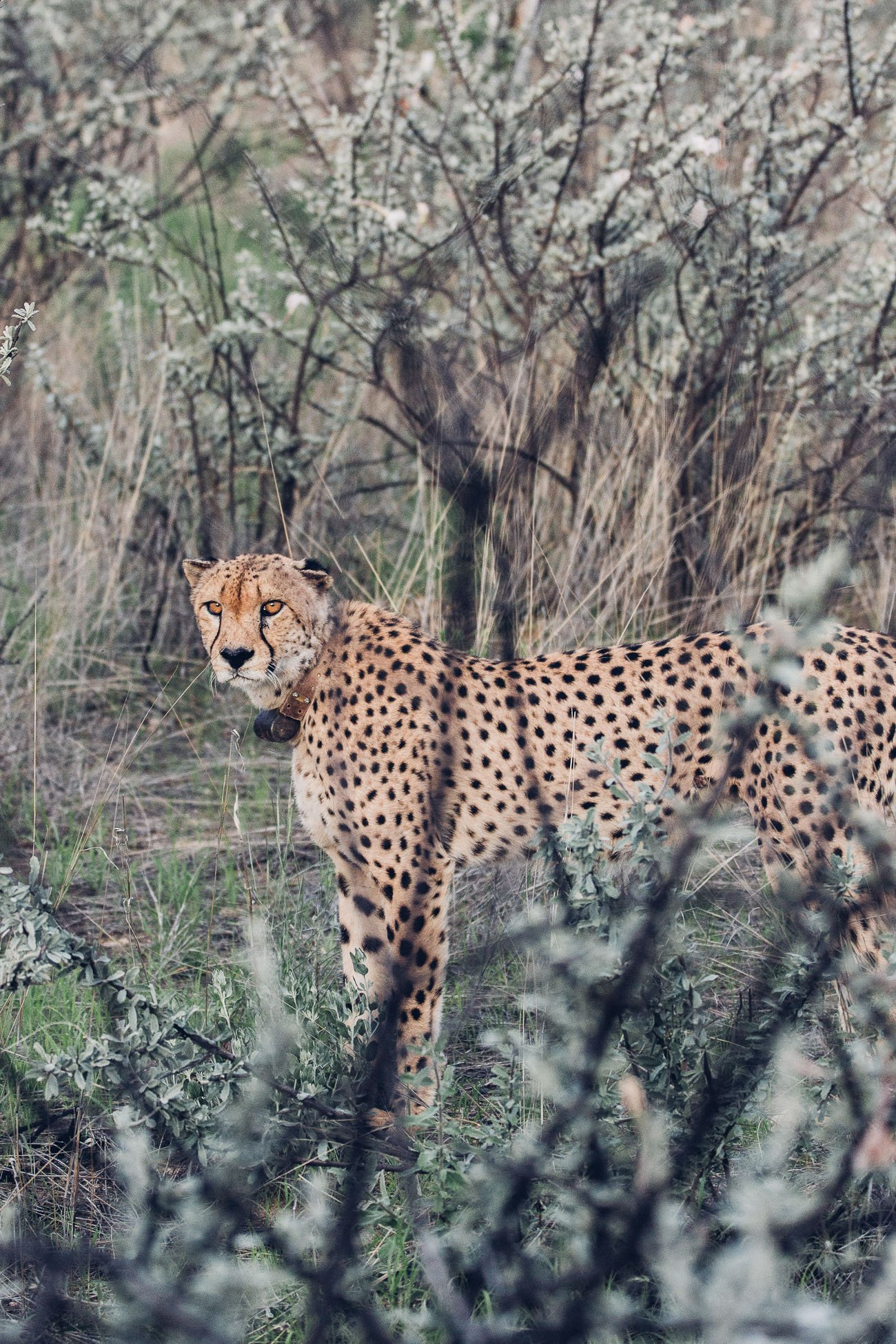 Cheetah at Erindi Private Game Reserve