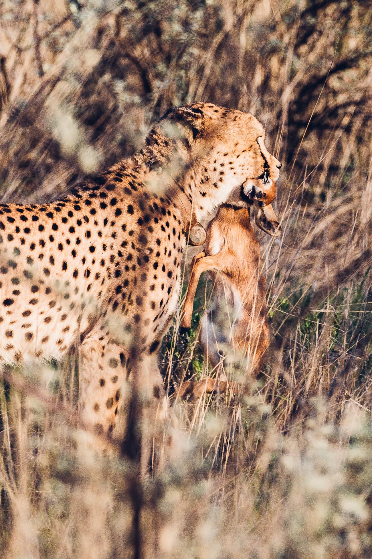 Cheetah with a kill at a Safari in Namibia