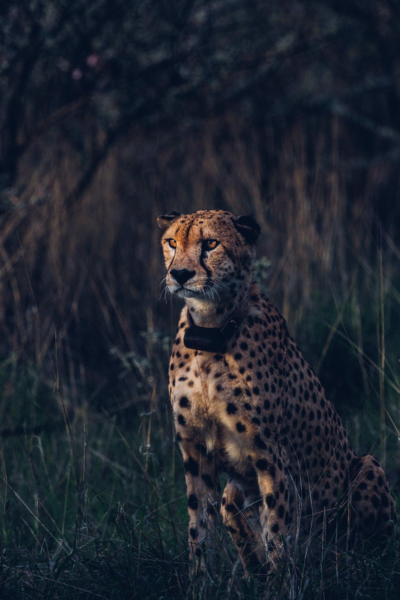 Cheetah at a Safari in Namibia