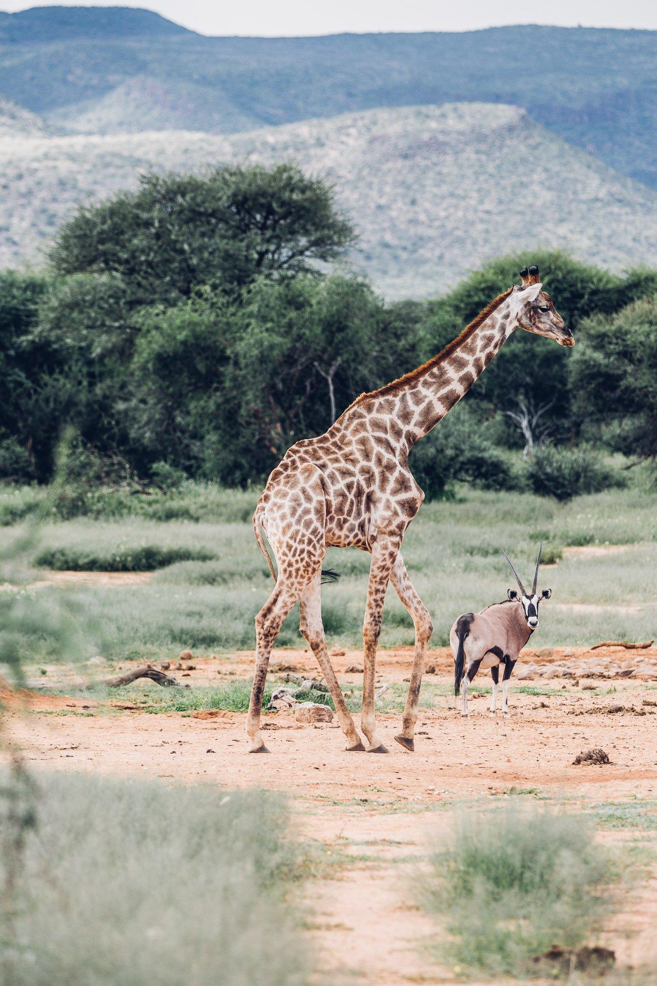 Giraffe and Oryx at a Safari in Namibia