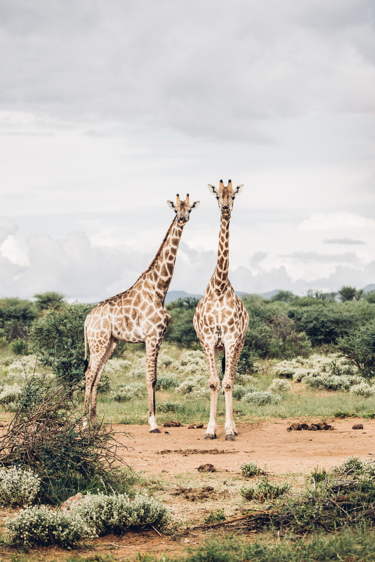 Giraffes at a Safari in Namibia