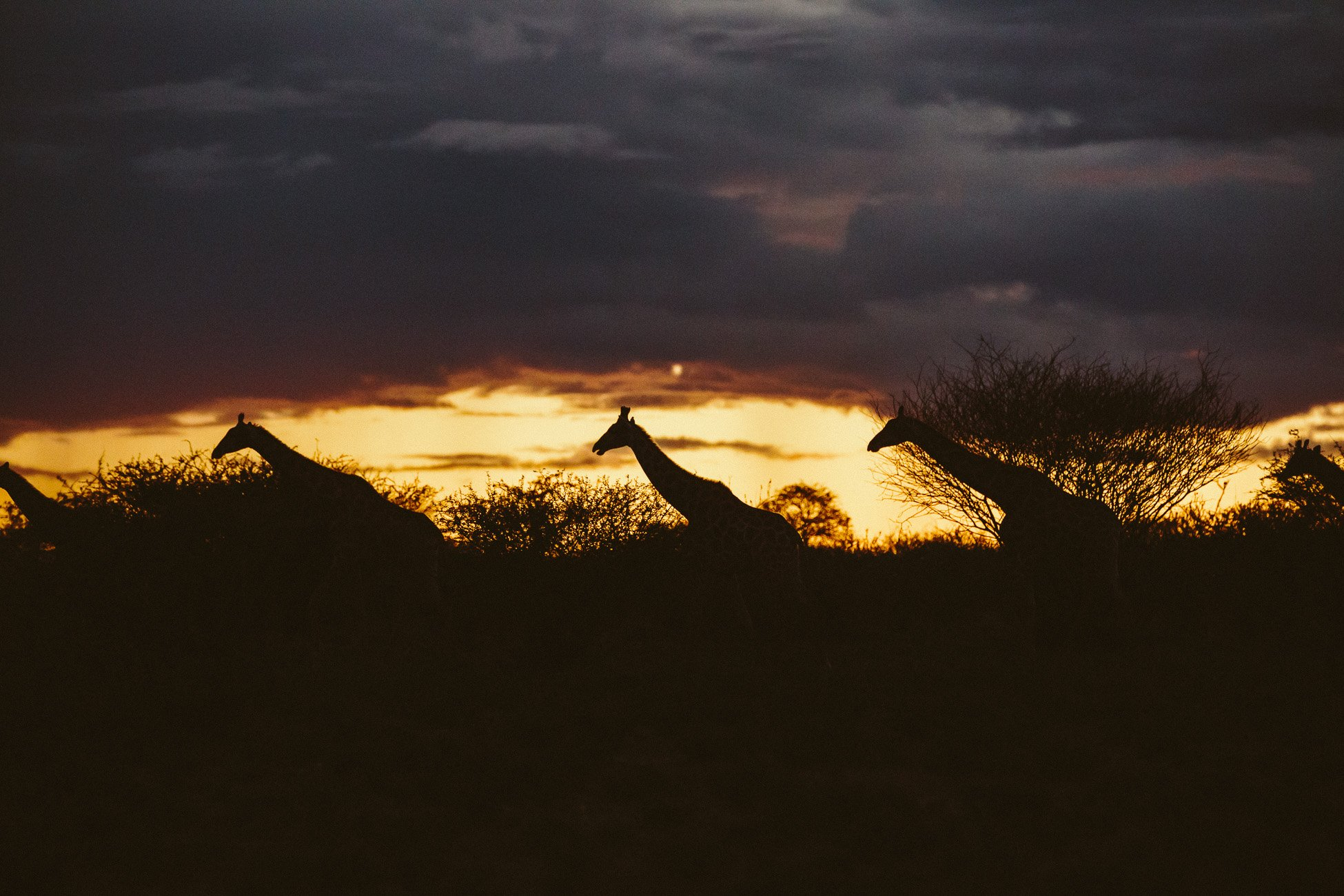 Giraffes at sunset at Erindi Private Game Reserve