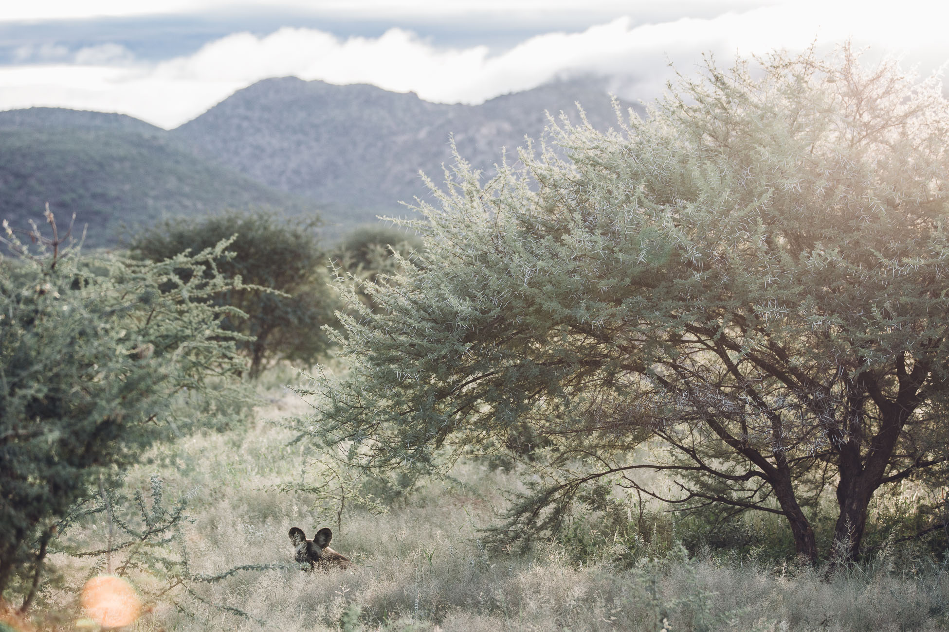 Wild Dog at Erindi Private Game Reserve