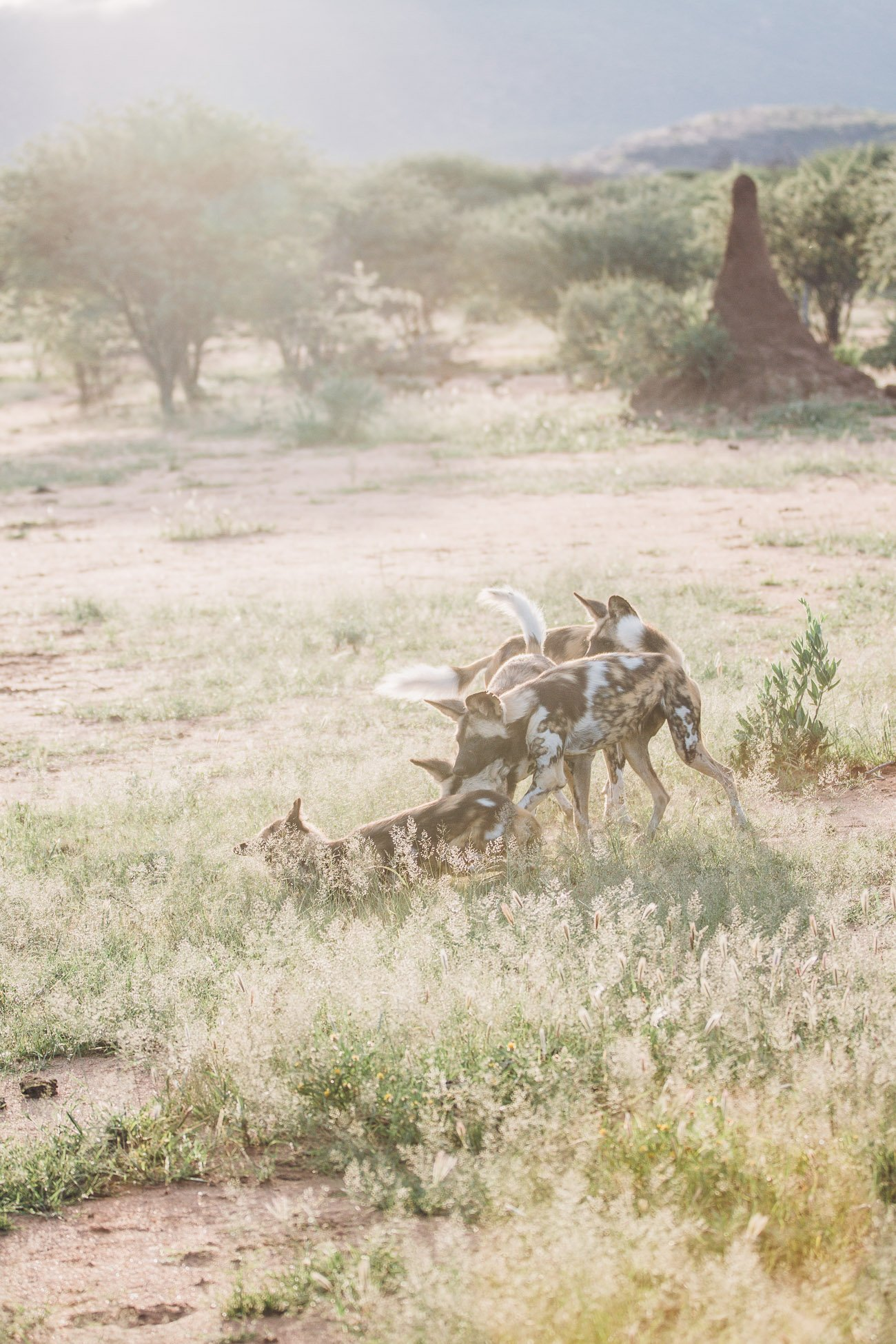 Wild Dogs at a Safari in Namibia