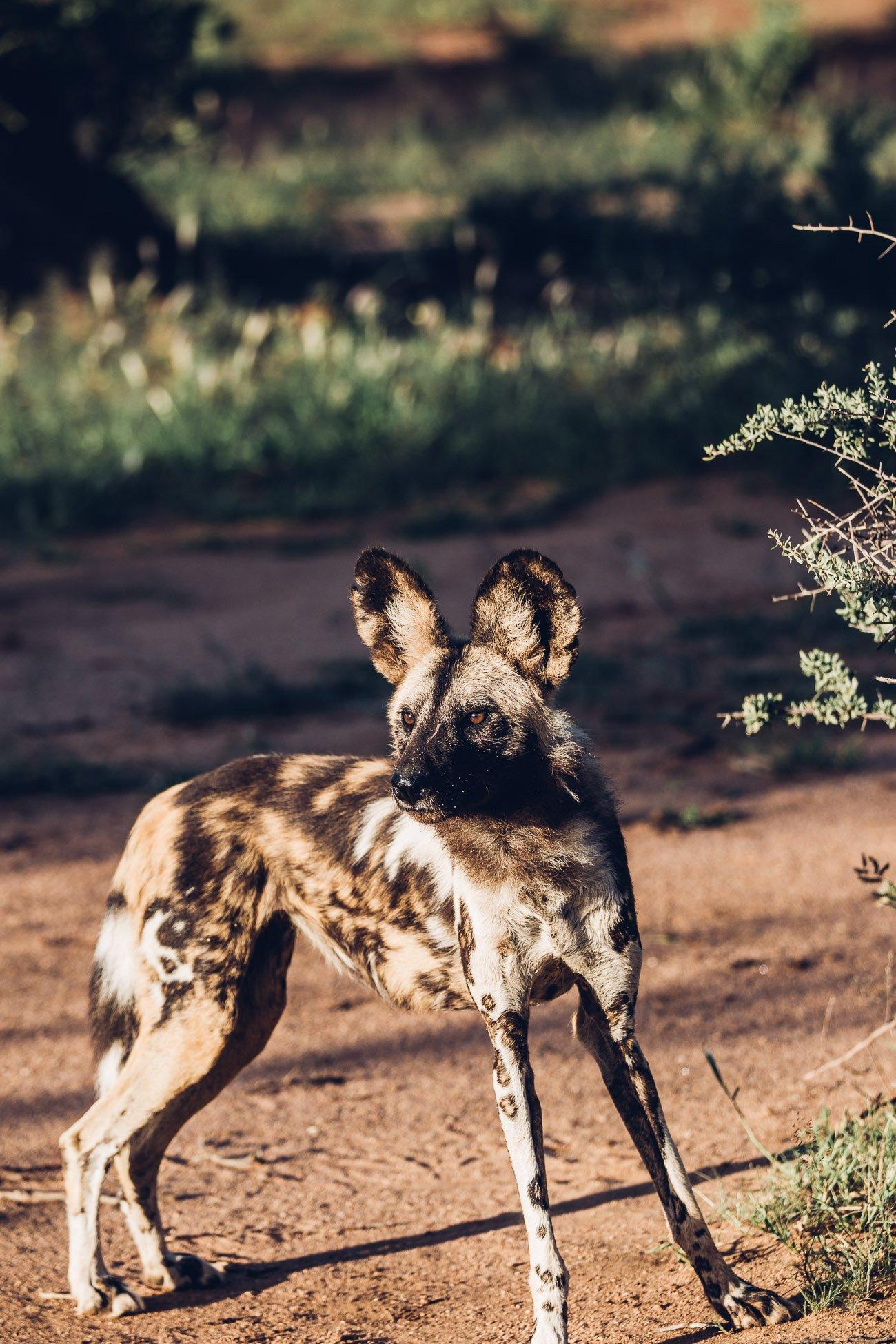 Wild Dog at a Safari in Namibia