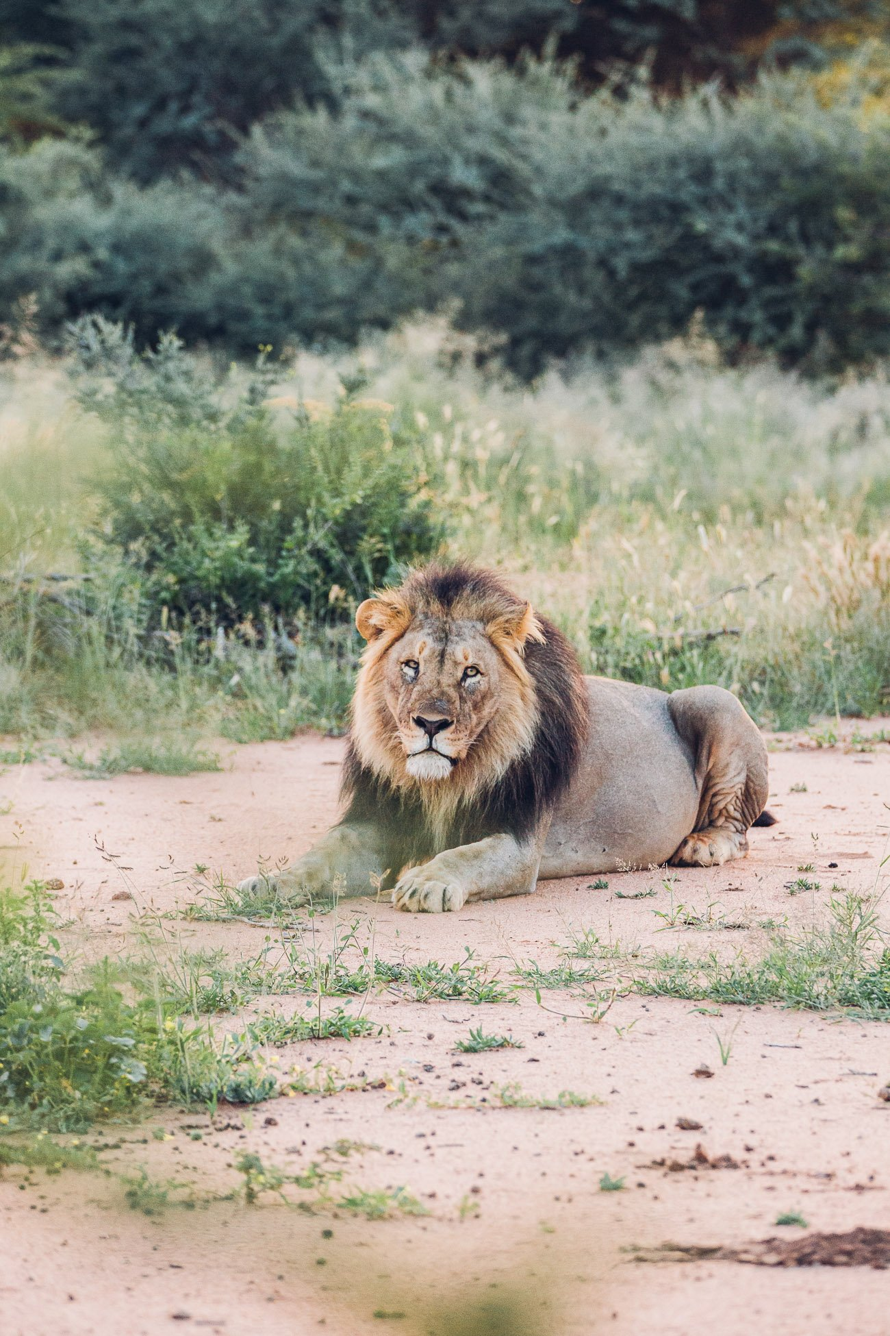 Lion at Erindi Private Game Reserve