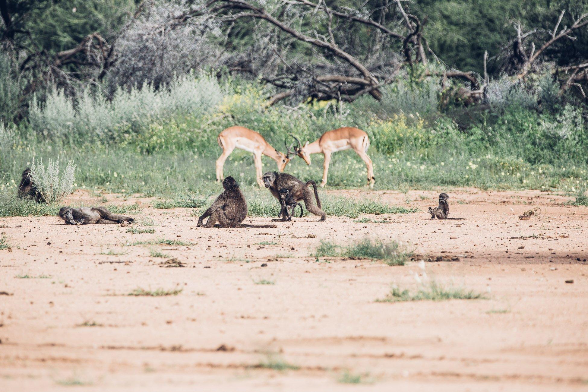 Baboons and Impalas at a Safari in Namibia
