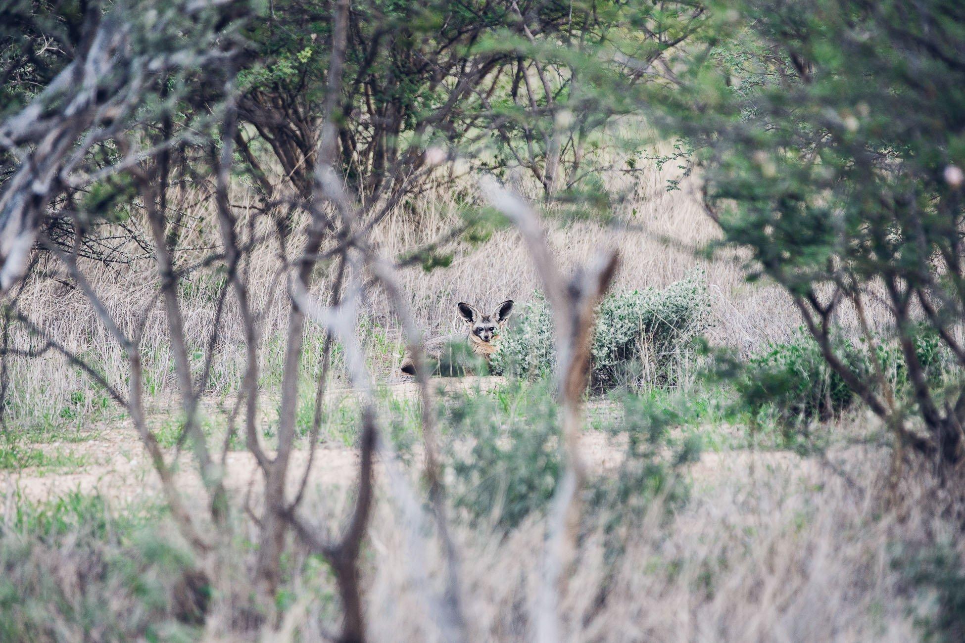Bat-eared fox at a safari in Namibia