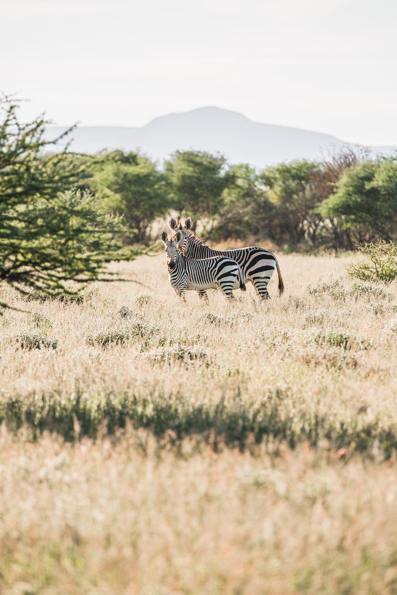 Zebras at a Safari in Namibia