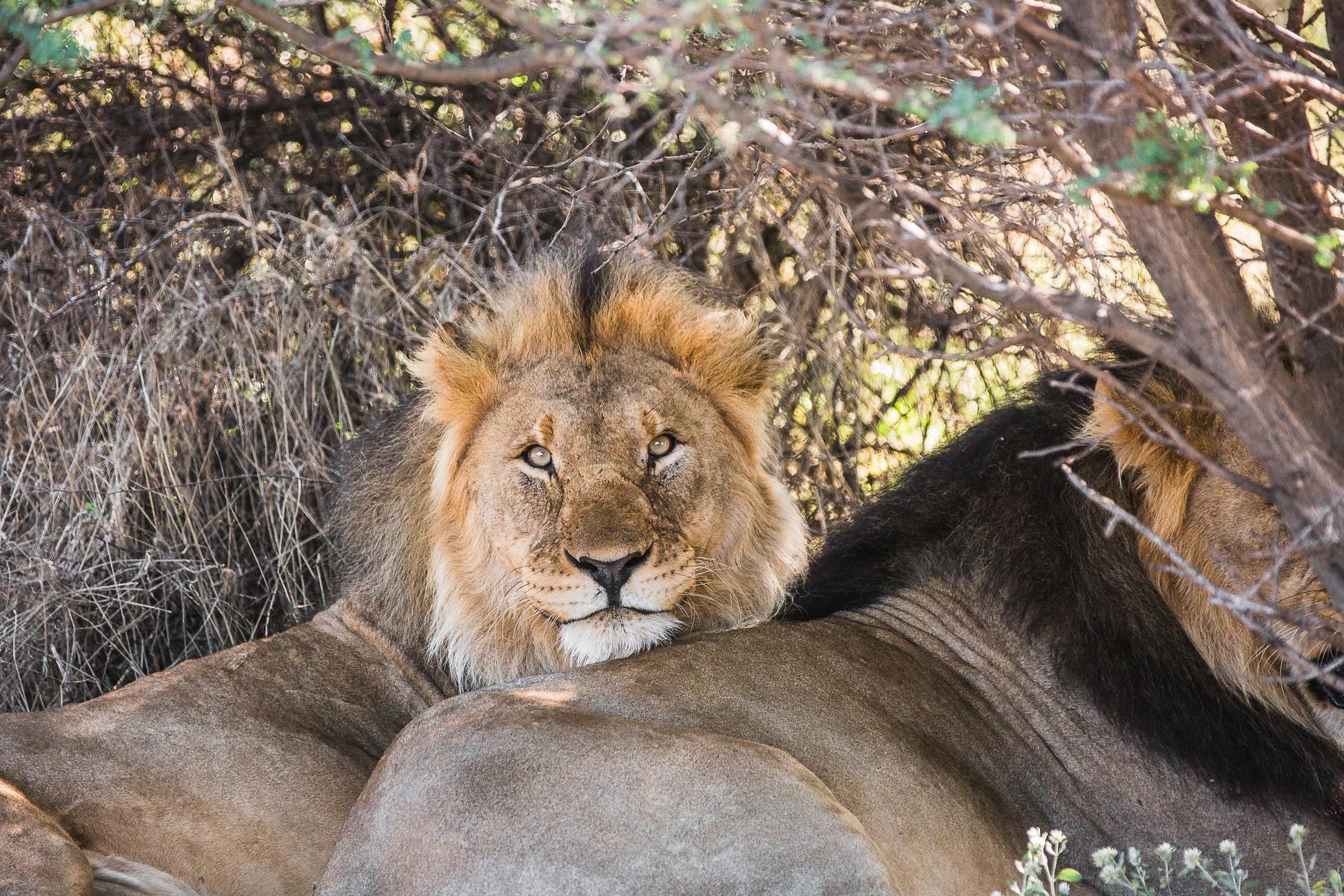 Lion brothers at Erindi Private Game Reserve