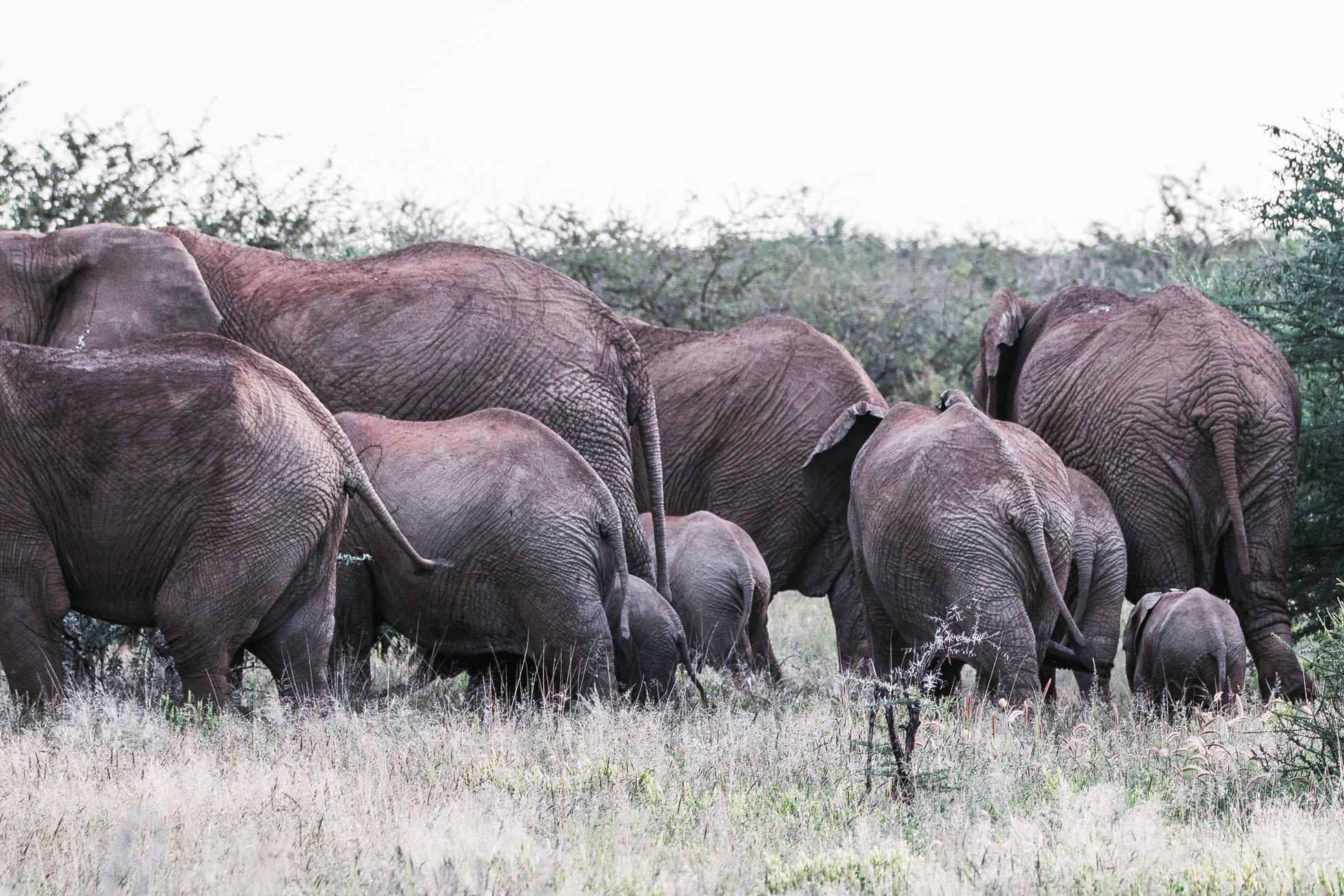 Elephants at a Safari in Namibia