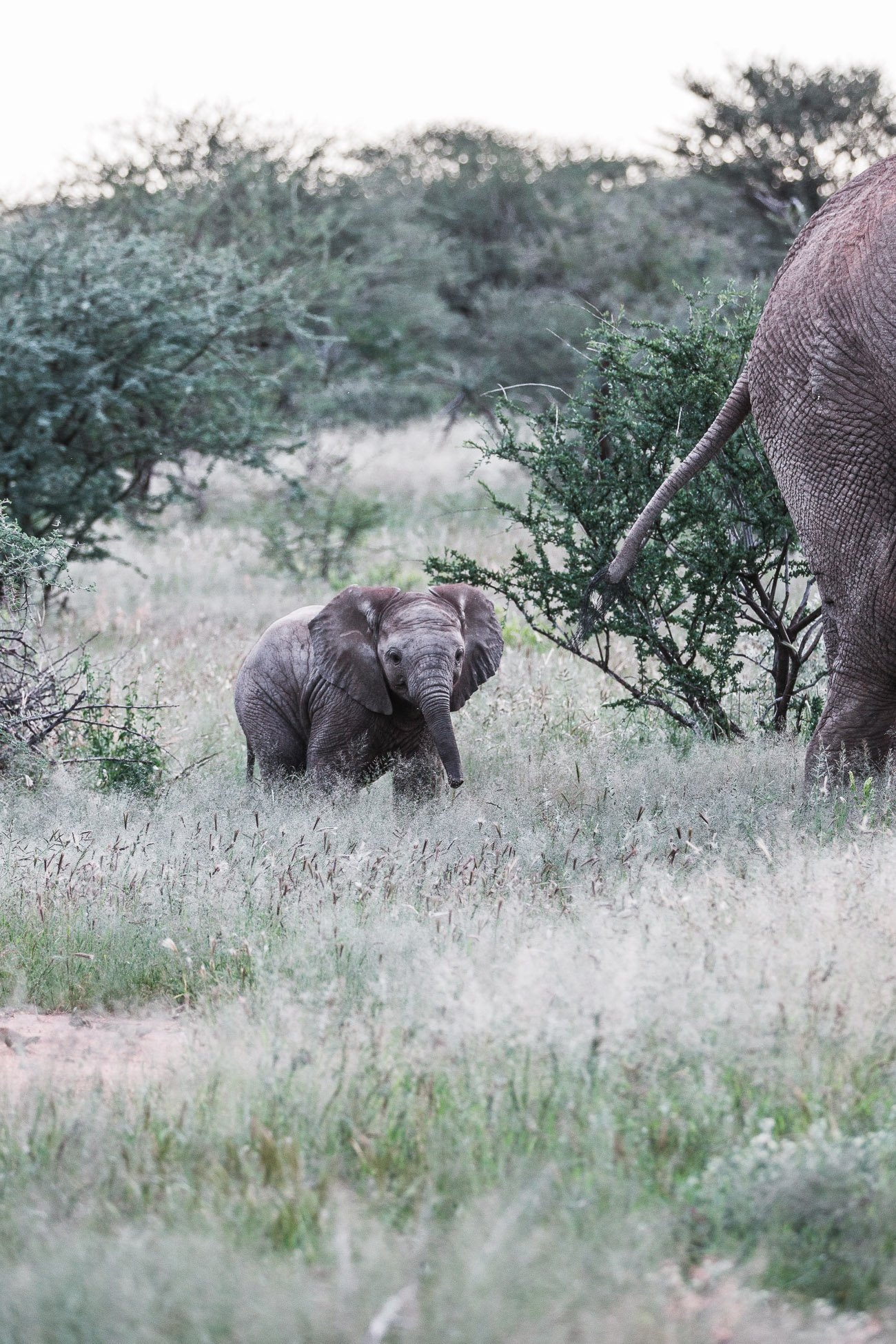 Elephant baby at Erindi Private Game Reserve