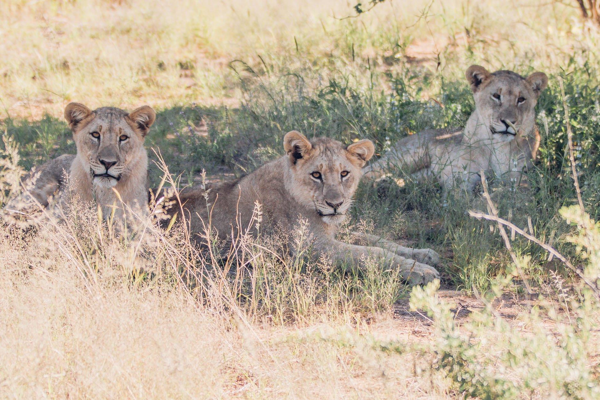 Lion family at Erindi Private Game Reserve
