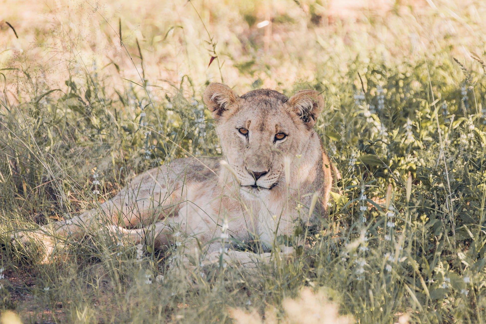 Lion Cub at a Safari in Namibia