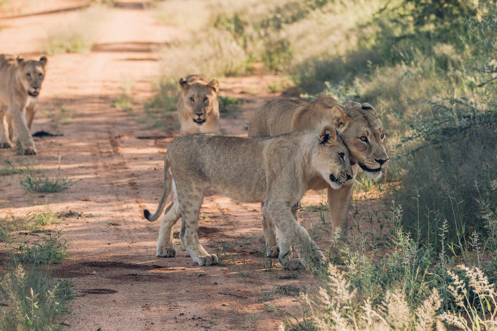 Lioness with three cubs at a Safari in Namibia