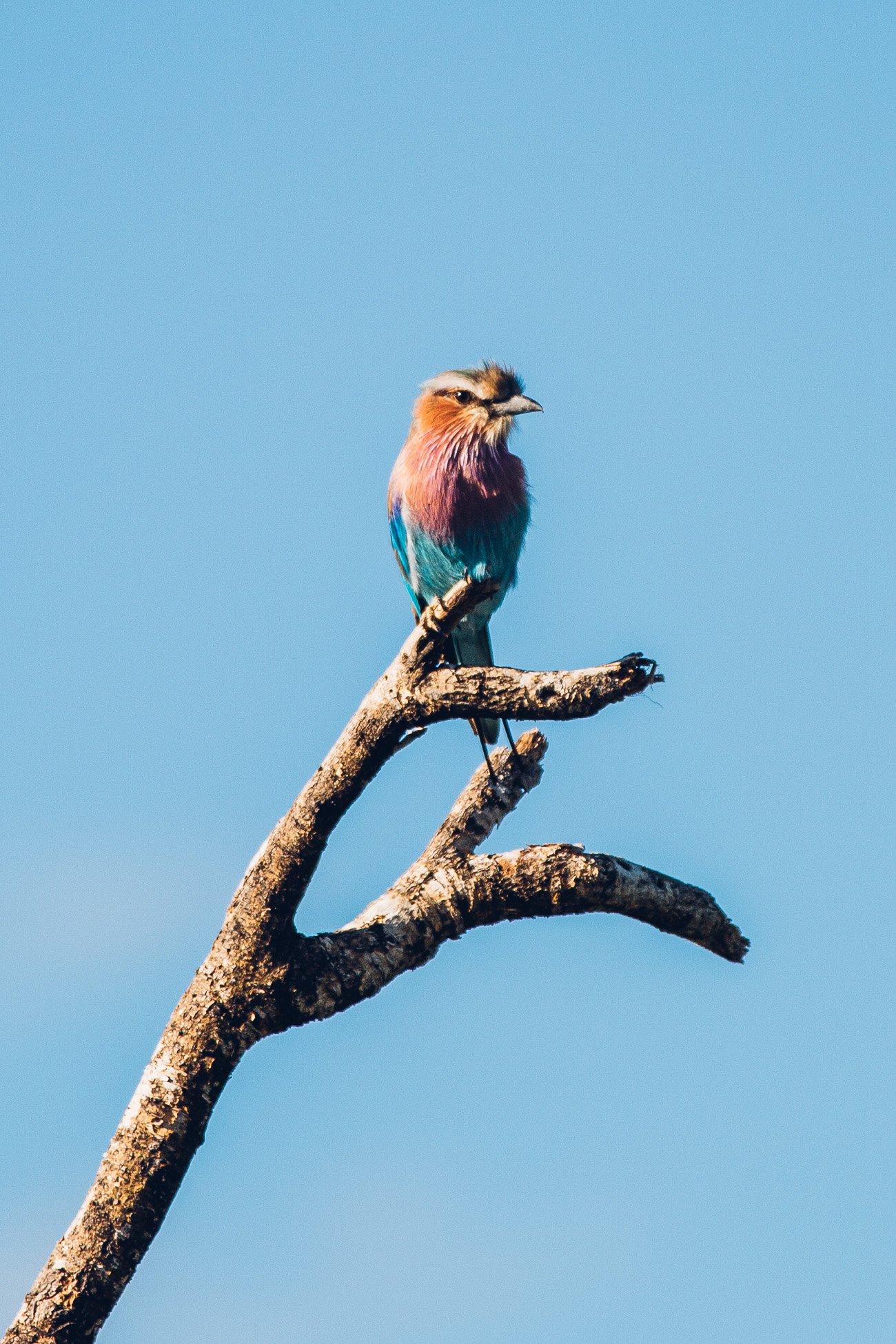 Lilac-breasted roller at a Safari in Namibia
