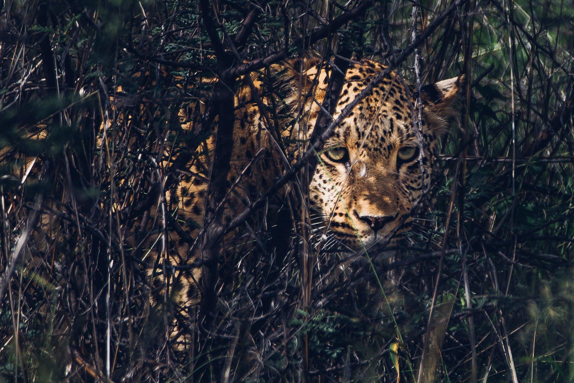 Leopard at a Safari in Namibia