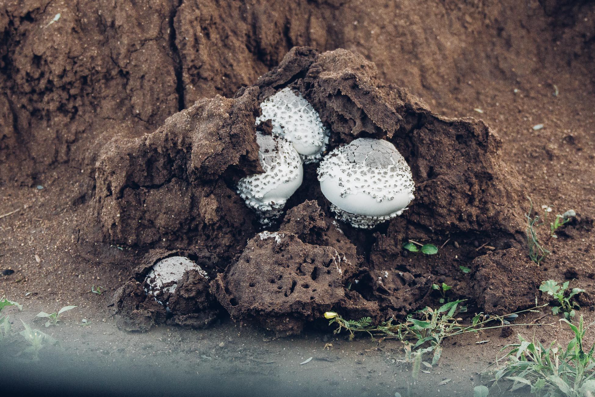 Omajowa Mushrooms at Erindi Private Game Reserve